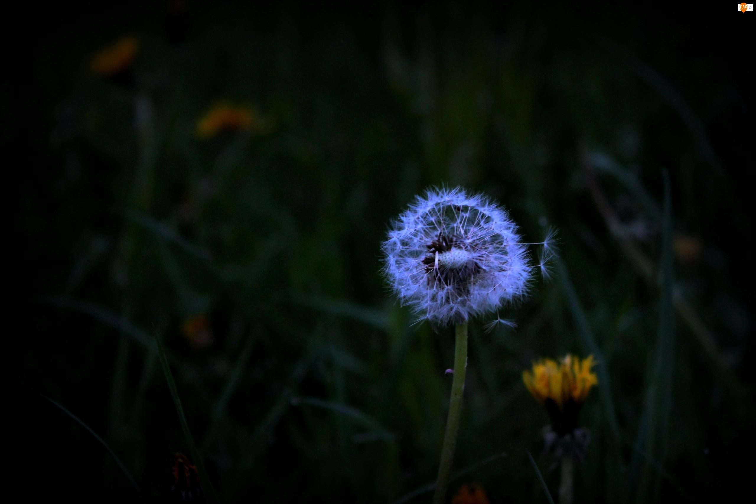 Mniszek pospolity, Przyroda, Kwiaty