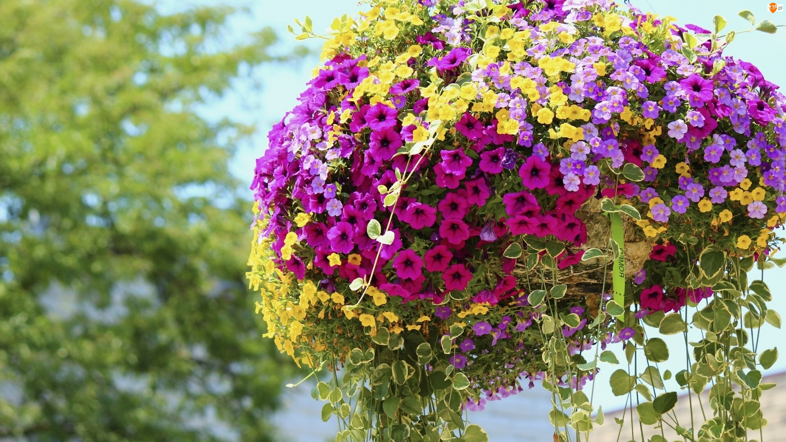 Żółte, Kwiaty, Różowe, Petunia ogrodowa, Fioletowe, Wiszące