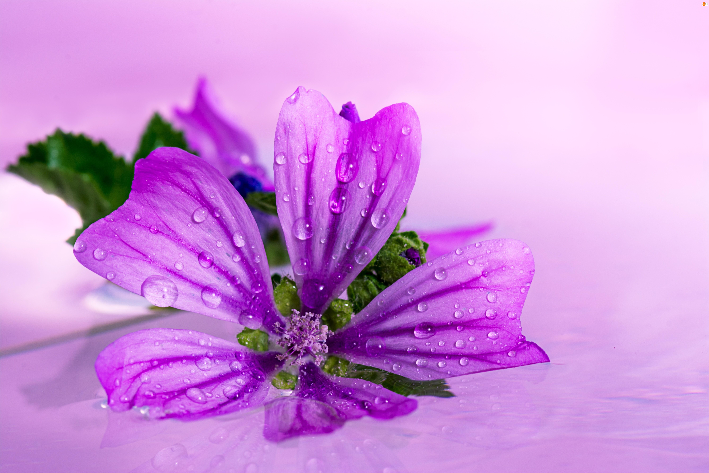 Ślaz, Kwiat, Fioletowy