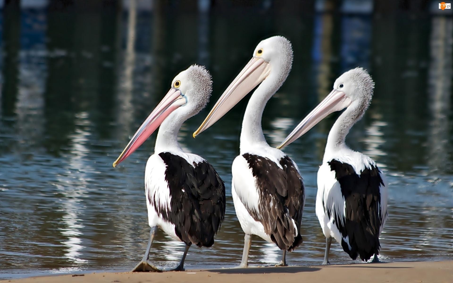 Trzy, Pelikany