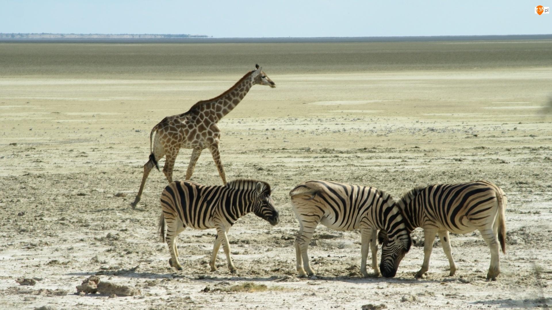 Zebry, Afryka, Żyrafa, Sawanna