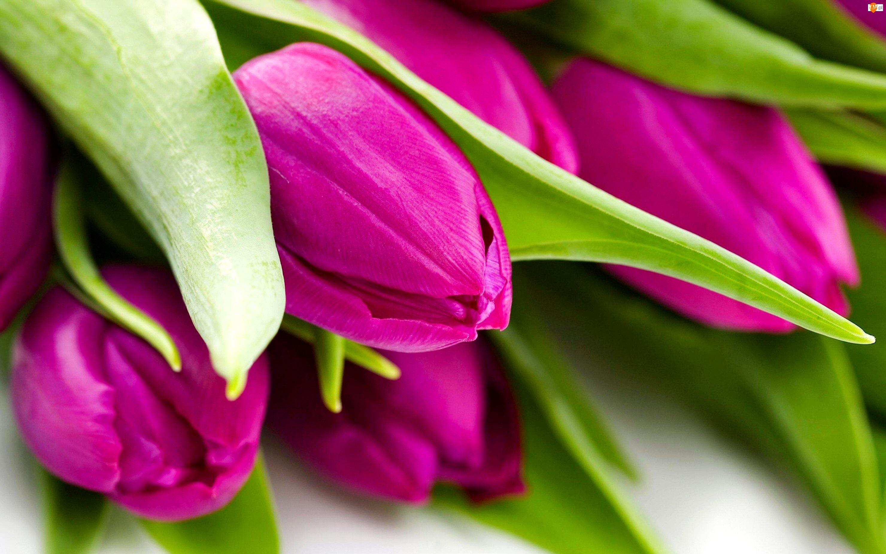 Fioletowe, Tulipany