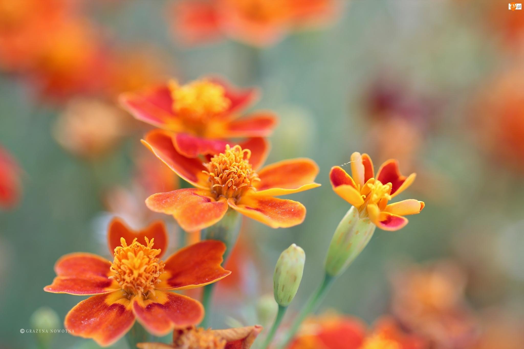 Kwiaty, Aksamitki, Turki