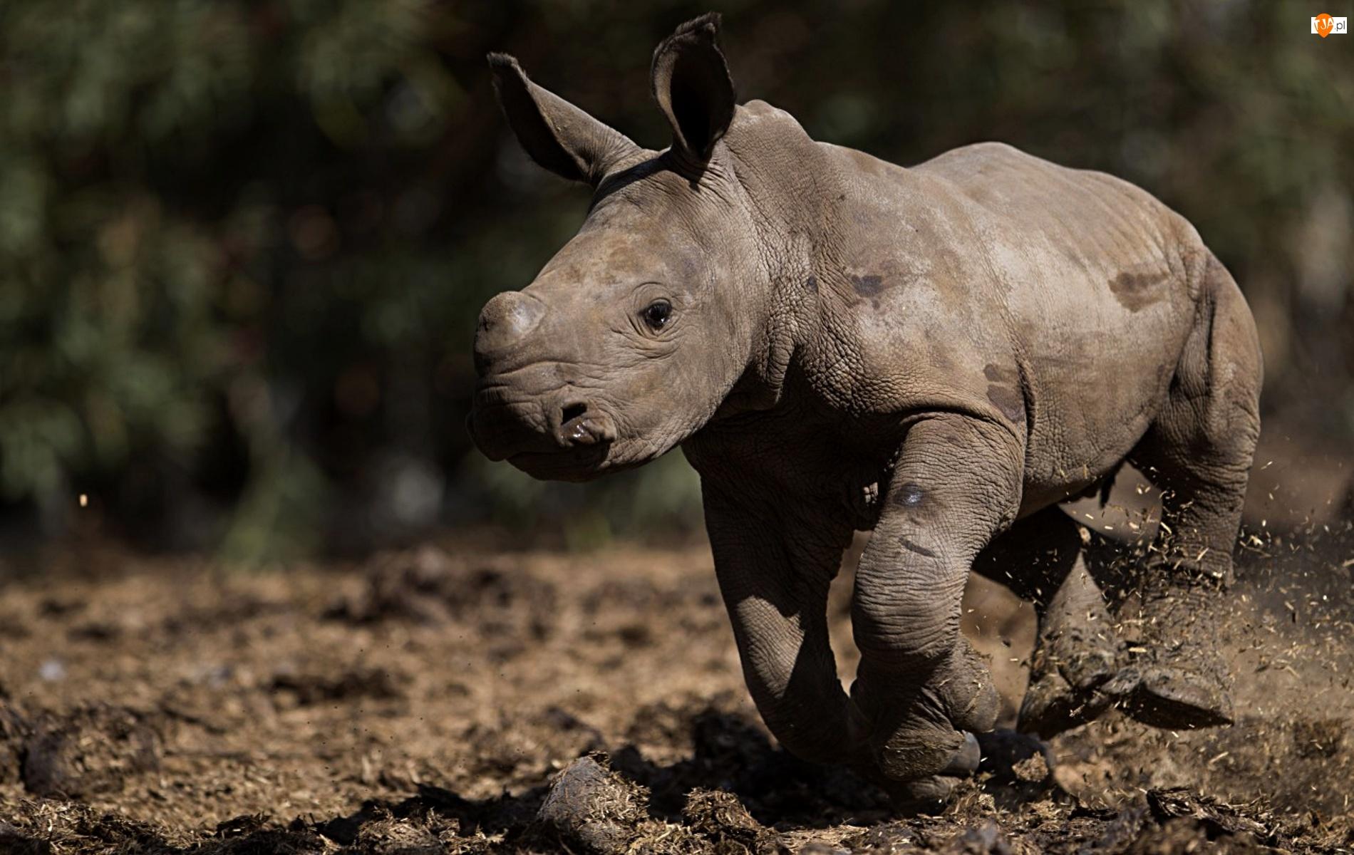 Mały, Nosorożec