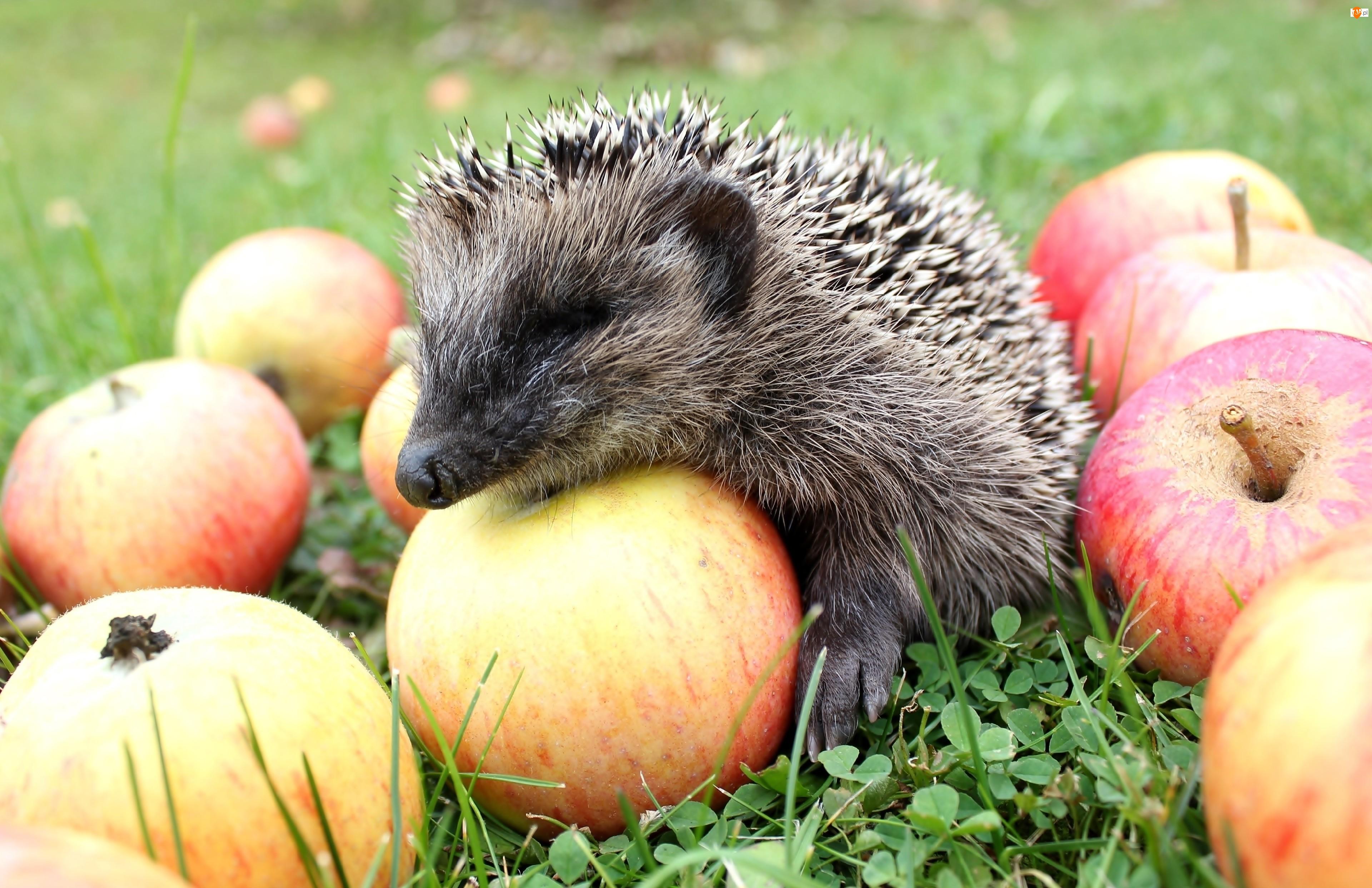 Jabłka, Mały, Jeżyk