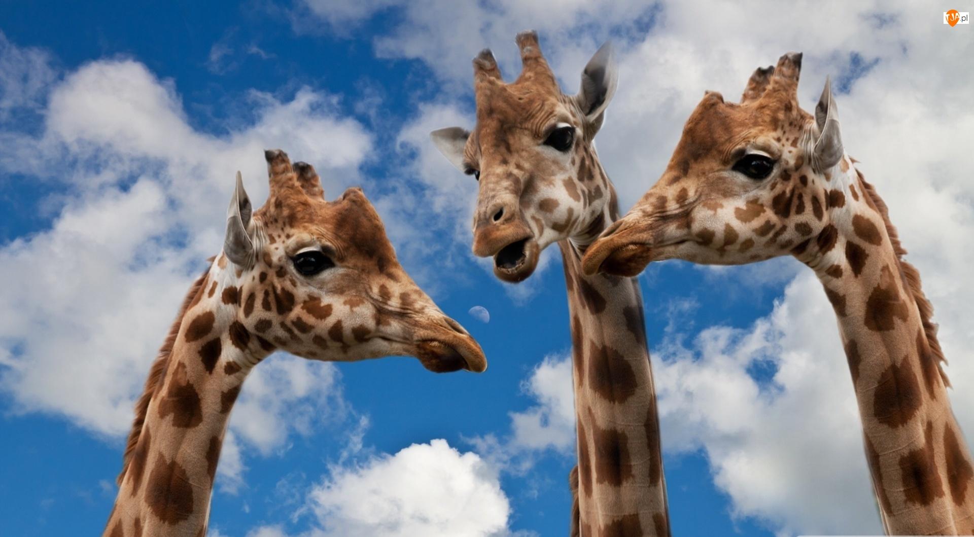 Żyrafy, Niebo