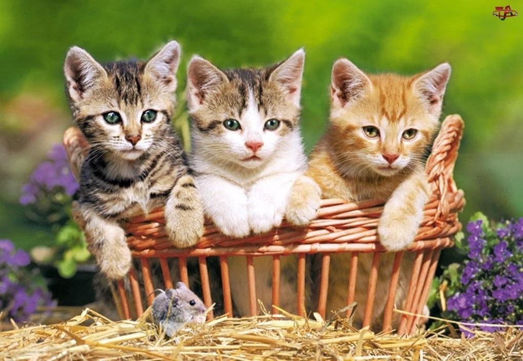Koszyk, Trzy, Kotki