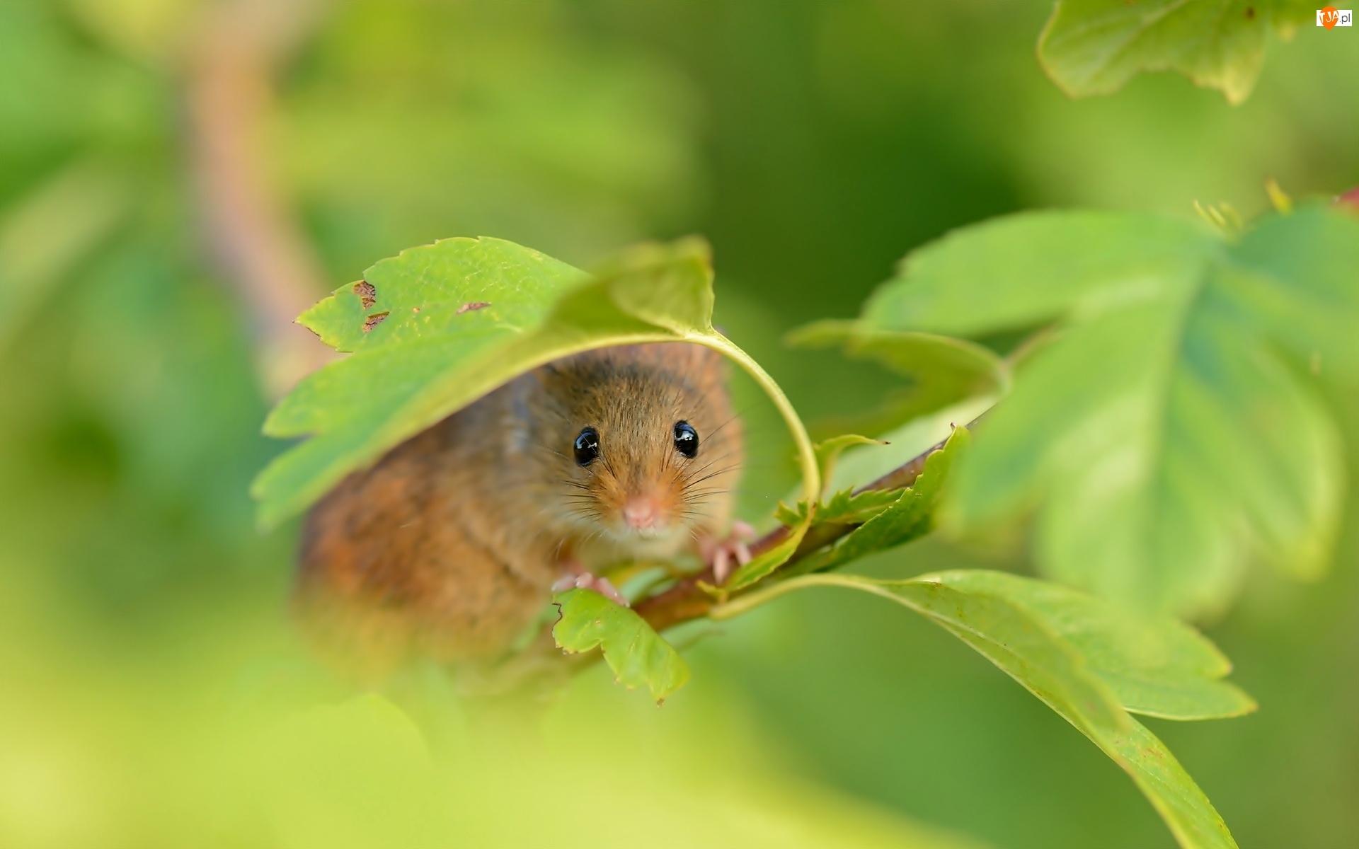 Myszka, Liście