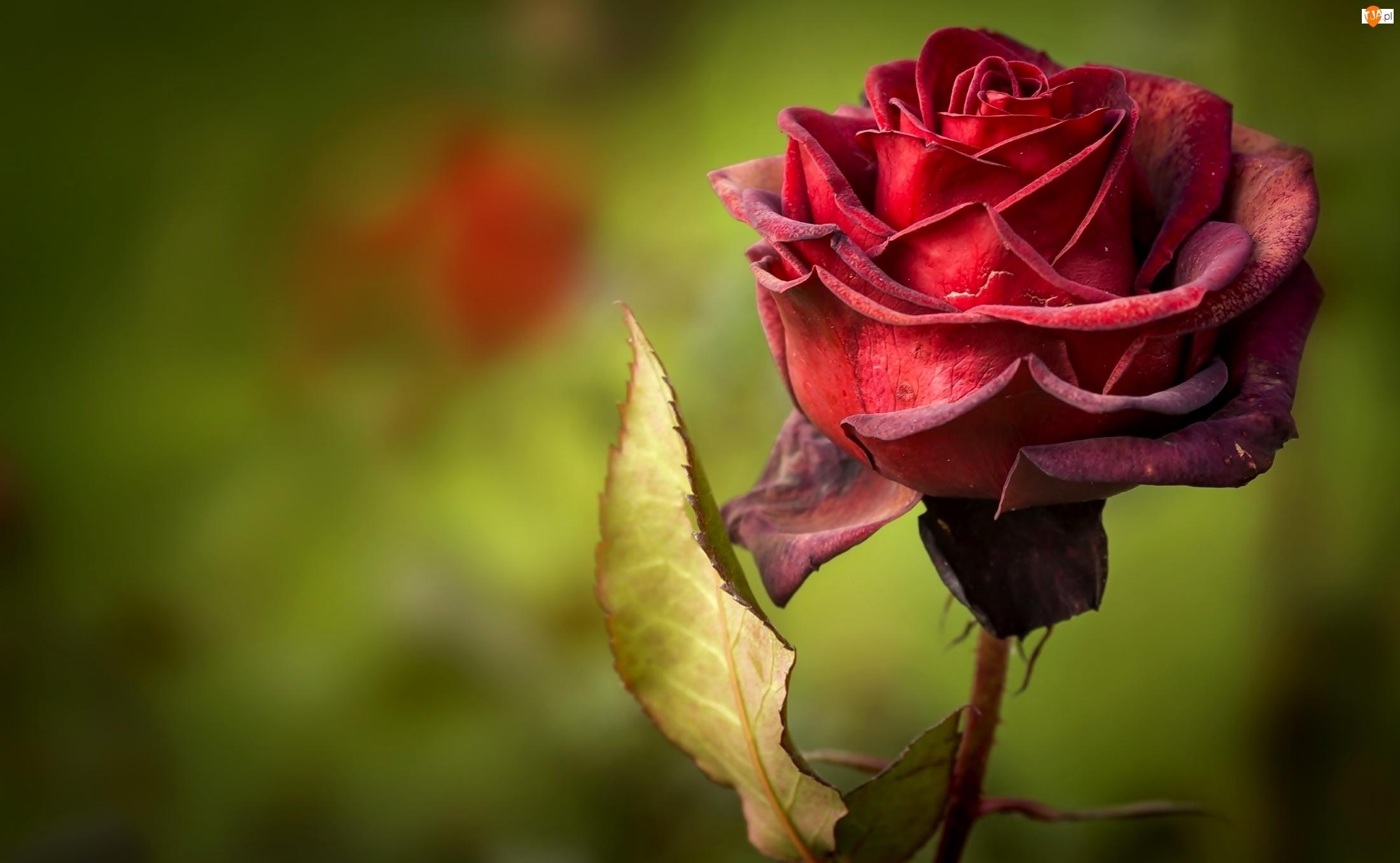 Róża, Kwiat, Czerwona