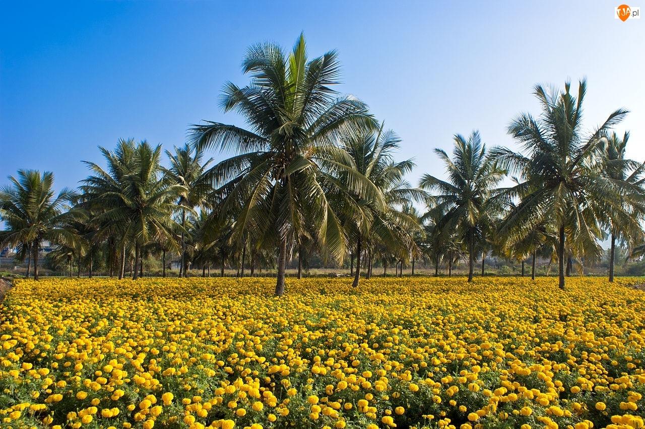 Łąka, Palmy, Kokosowe