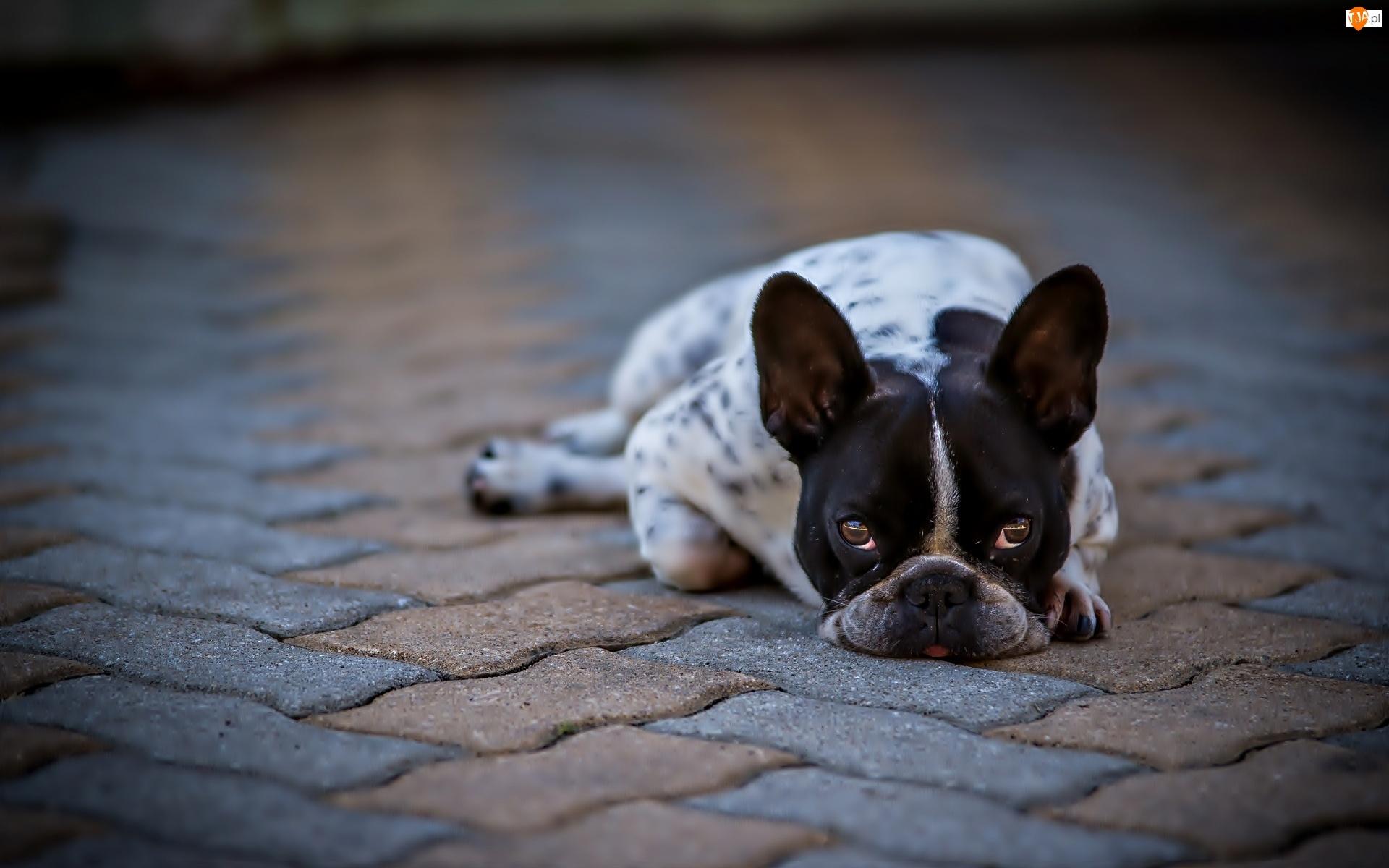 Pies, Buldog francuski