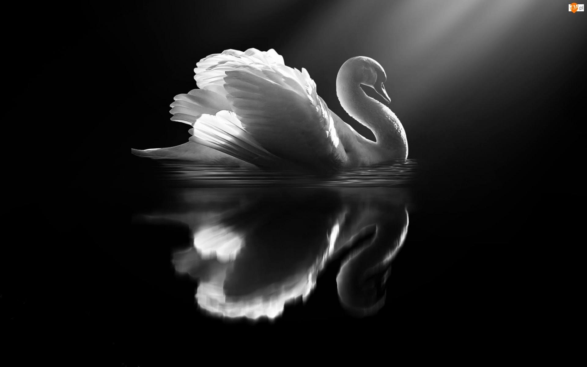 Łabędź, Białe, Ptak, Czarno