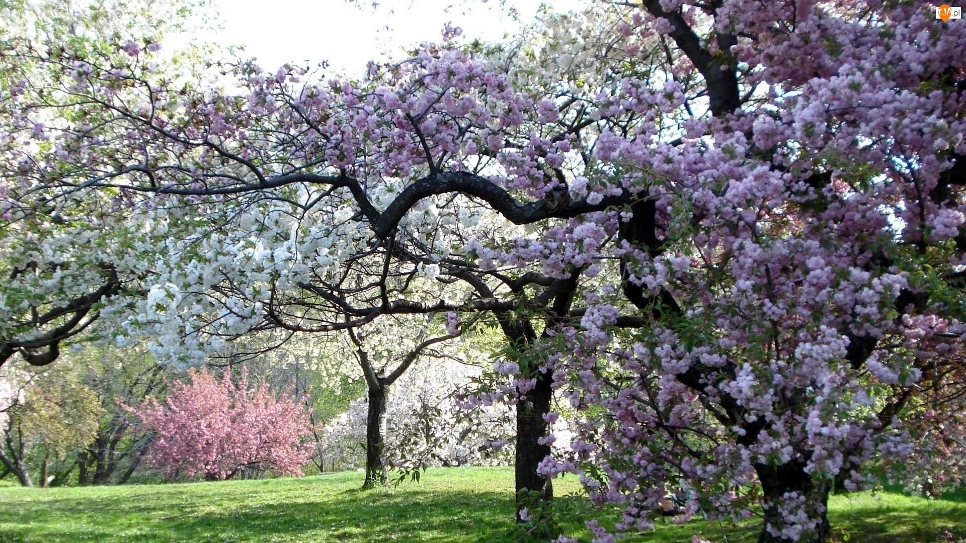 Łąka, Wiosna, Kwitnące, Drzewa