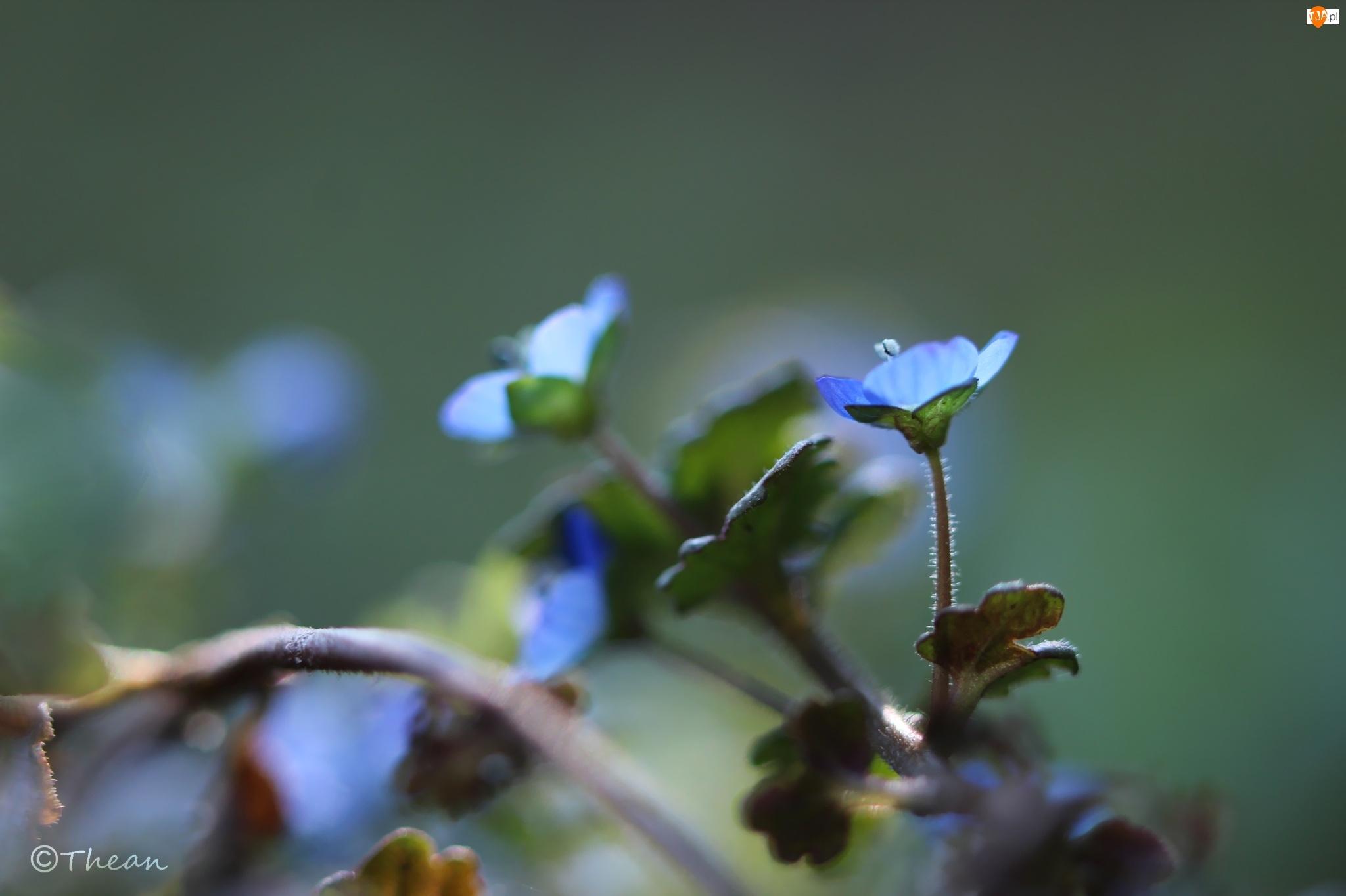 Kwiat, Przetacznik, Niebieski