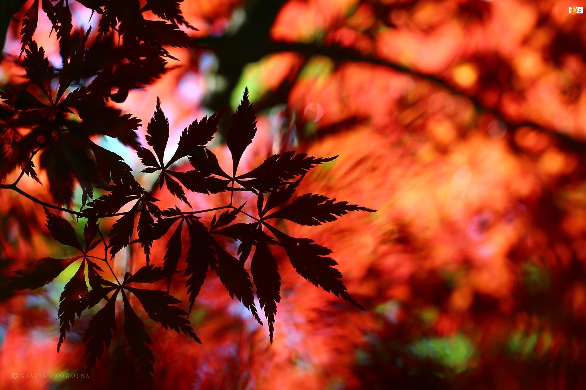 Liście, Klon Palmowy, Czerwone