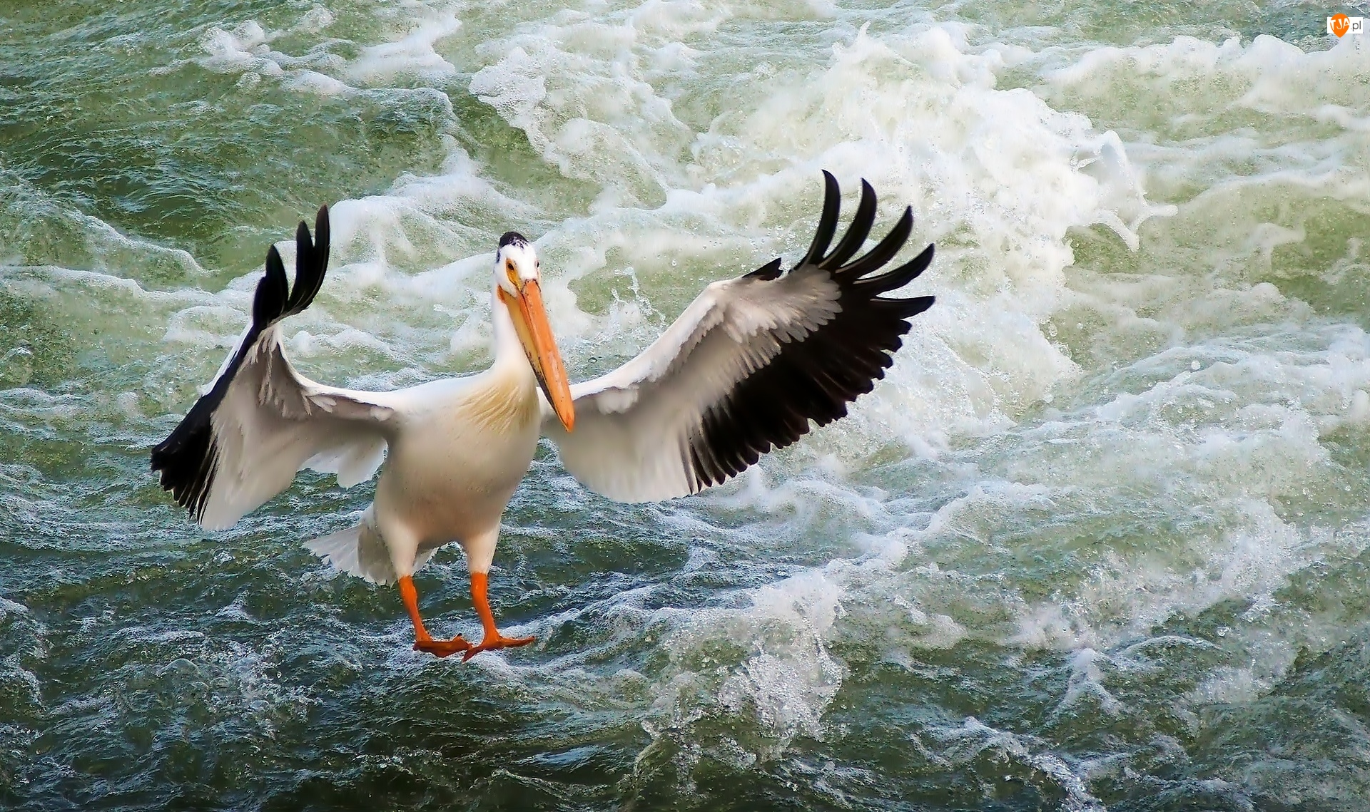 Pelikan, Morze