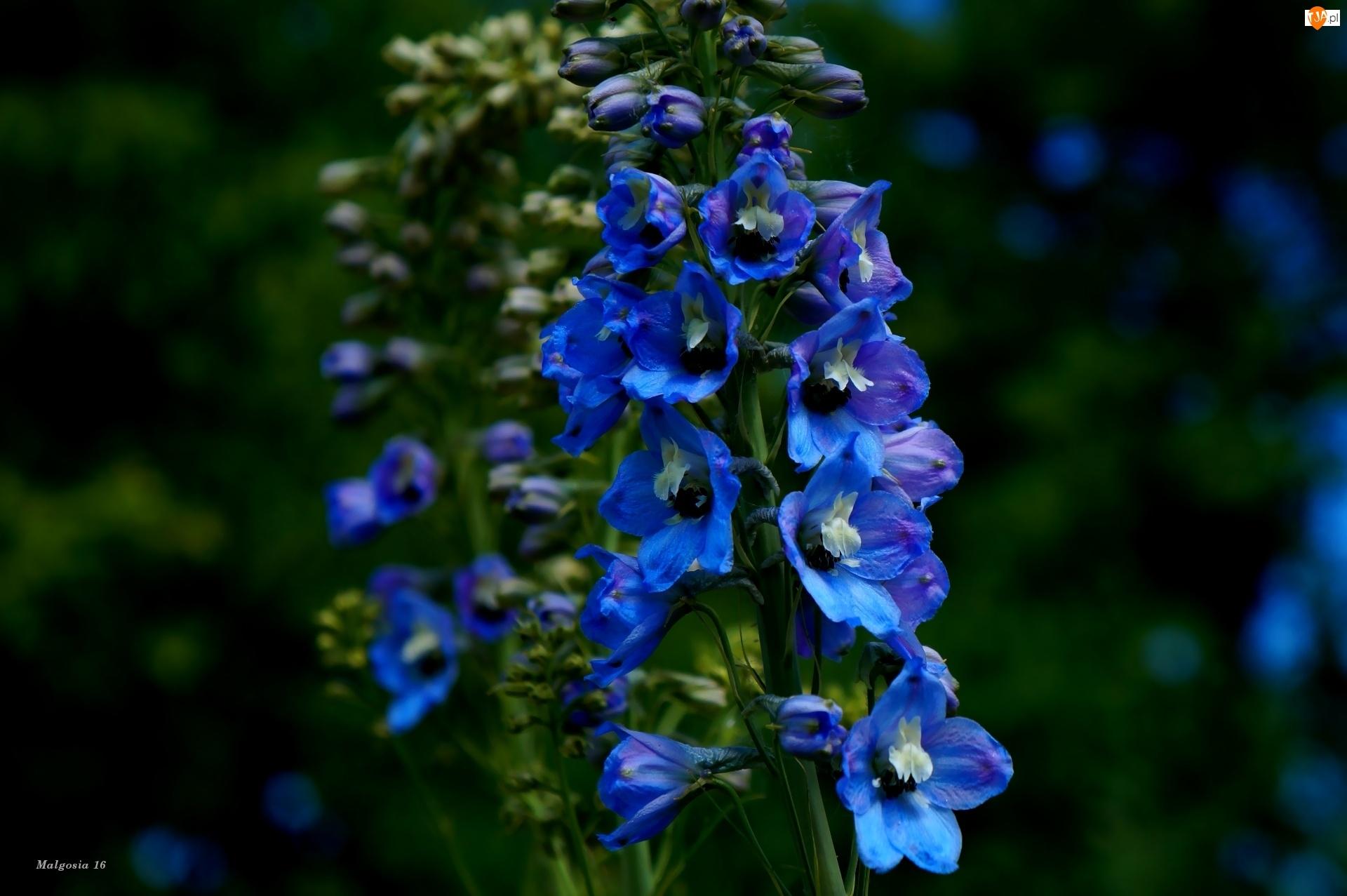 Kwiaty, Niebieska, Ostróżka, Ogrodowa