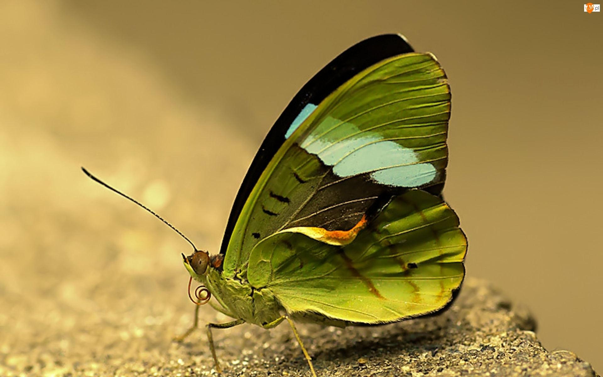 Zielony, Motyl