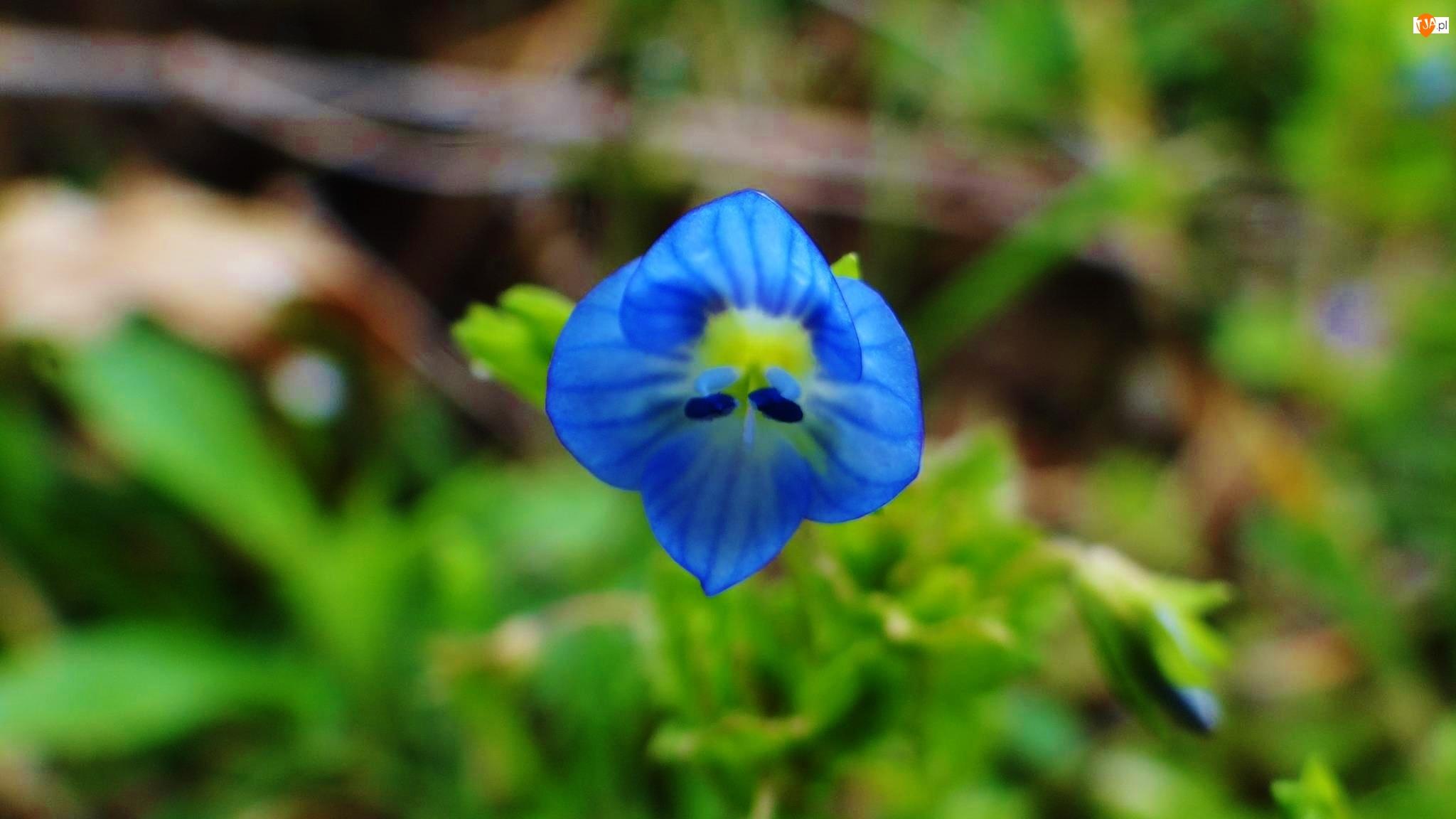 Niebieski, Kwiatek