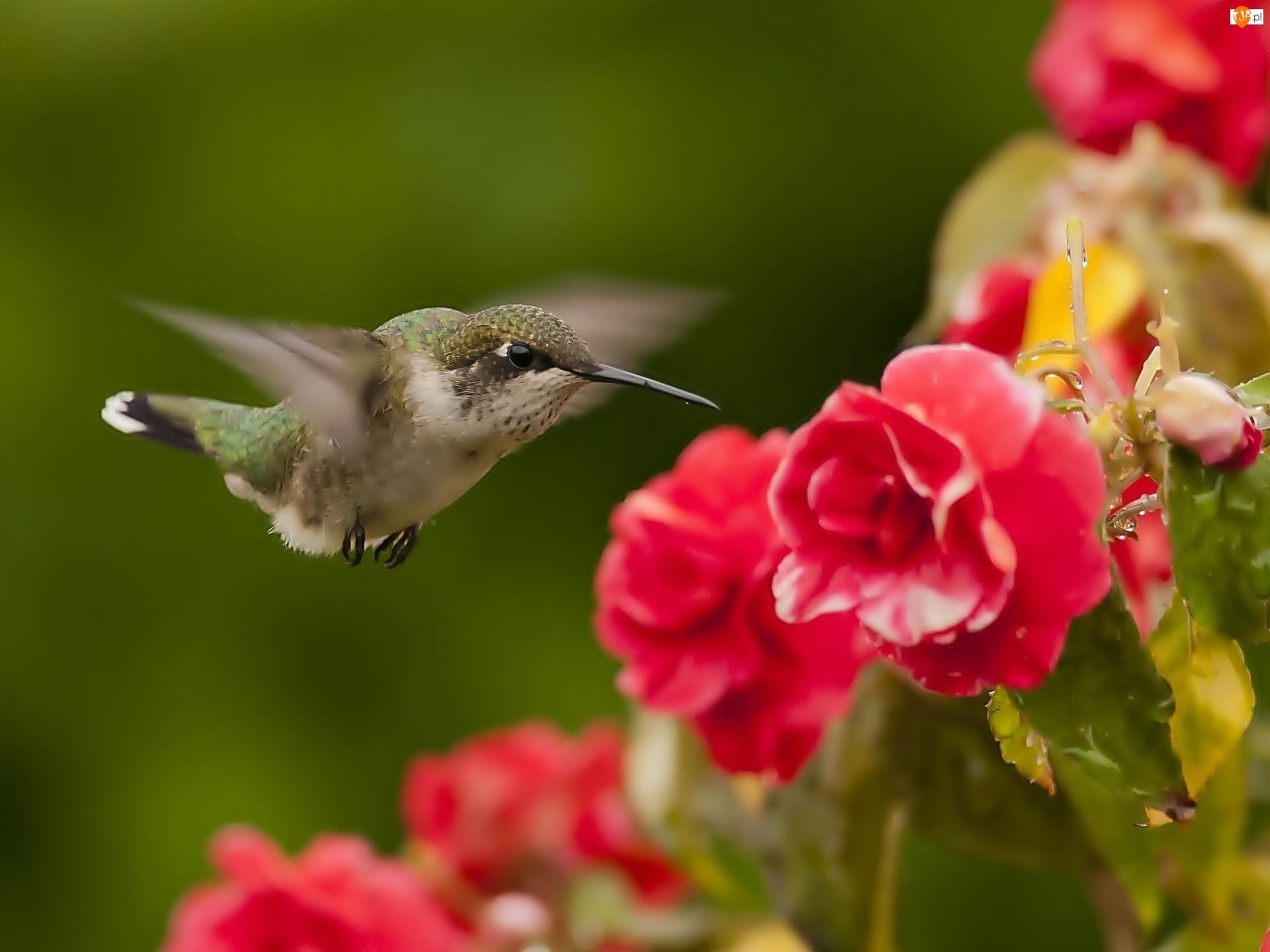 Koliber, Begonia
