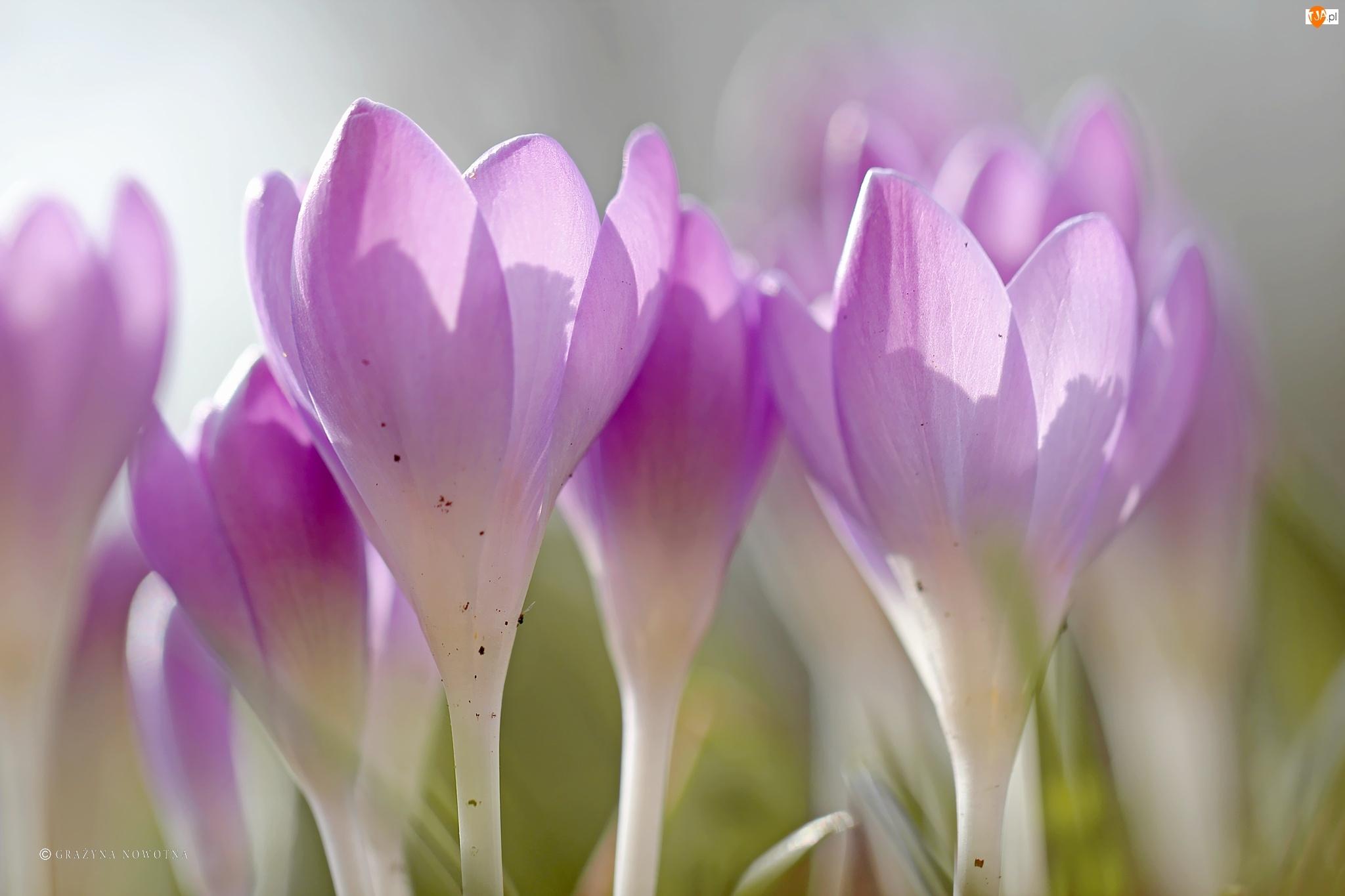 Kwiaty, Krokusy, Fioletowe
