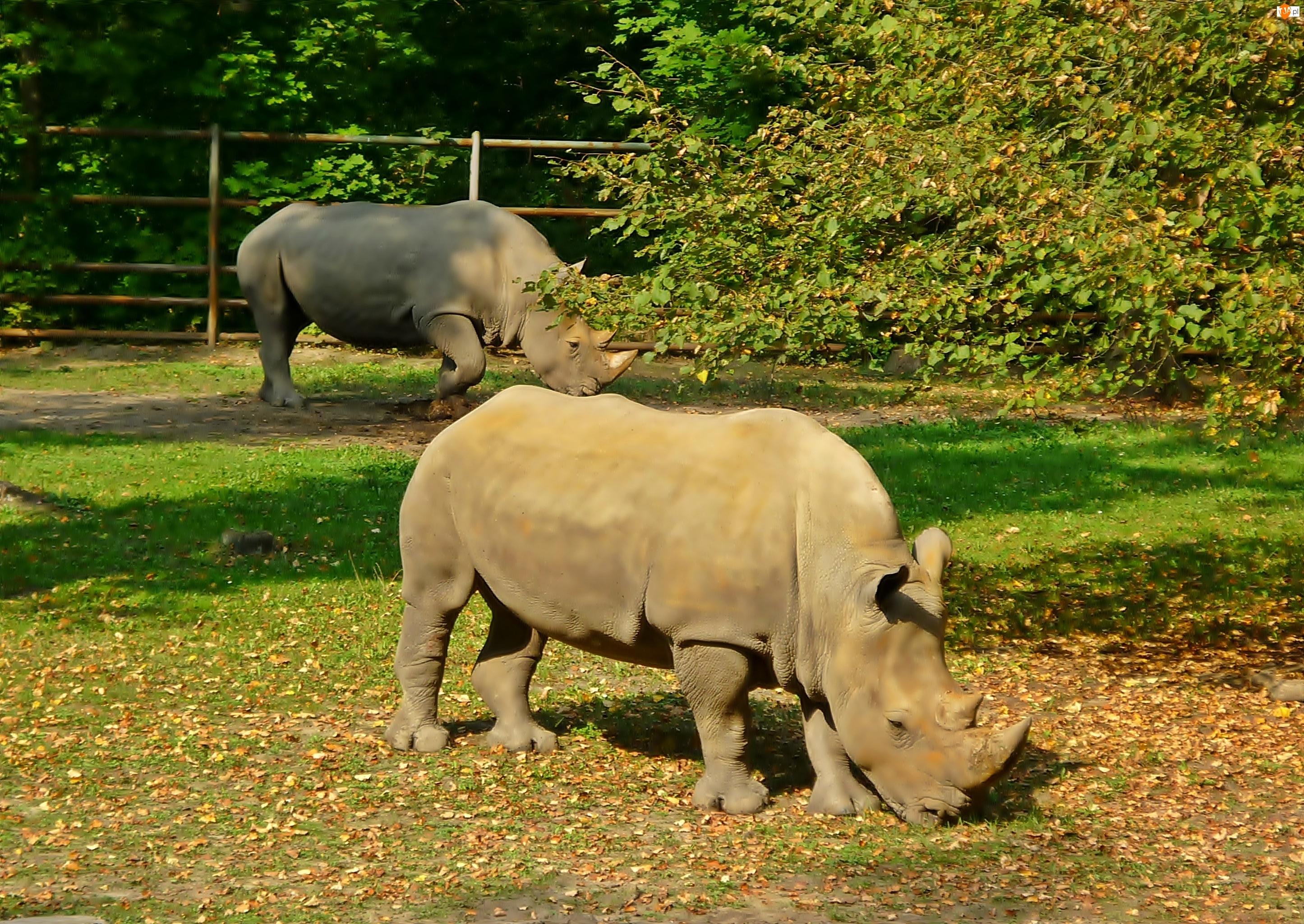Nosorożce, Liście, Trawa, Drzewa