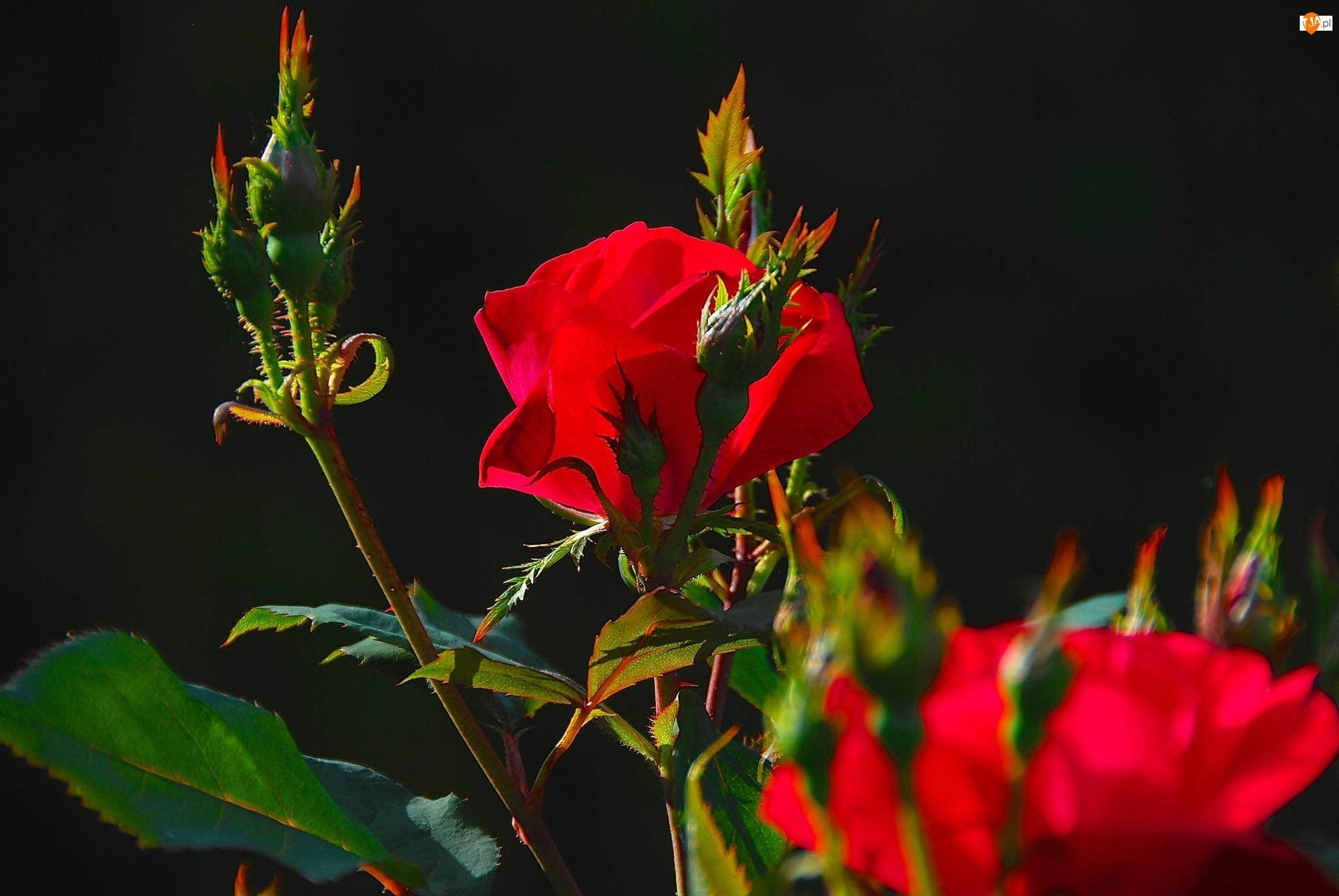Czerwone, Róże