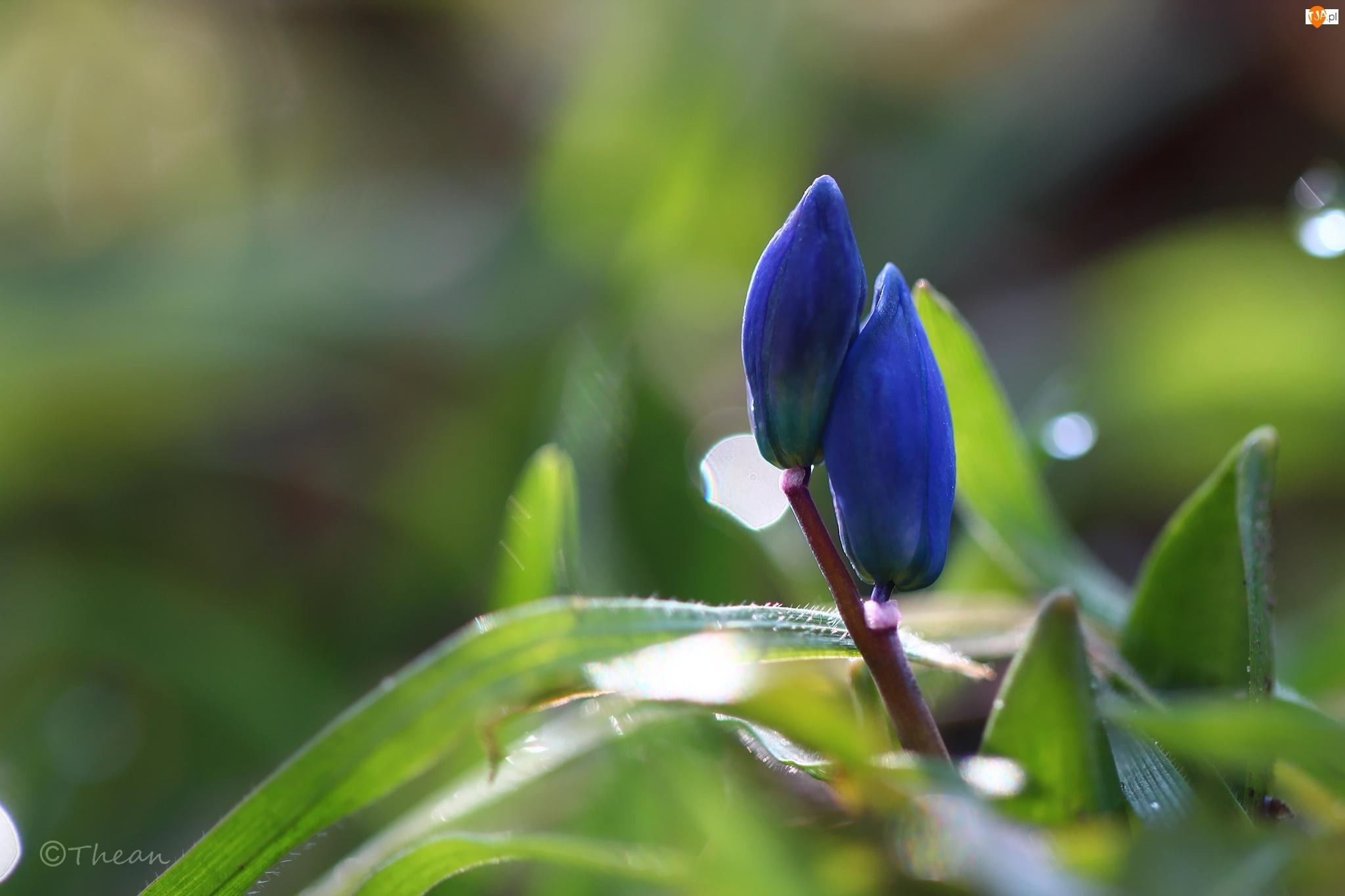 Wiosna, Cebulica Syberyjska, Niebieskie, Pąki, Kwiaty
