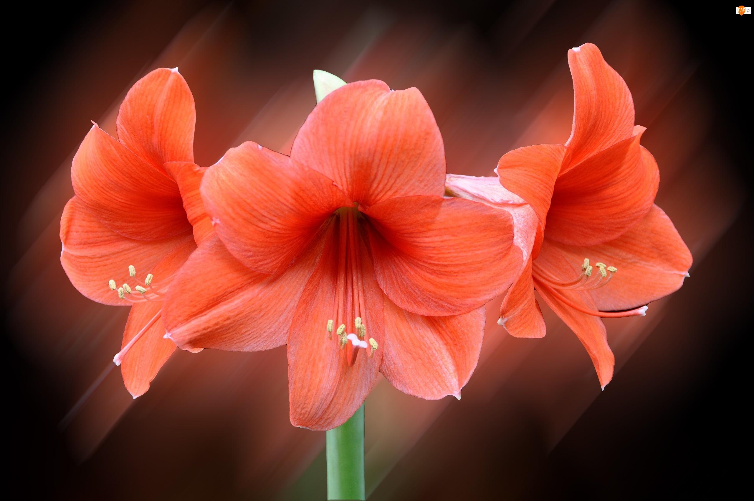 Kwiat, Amarylis