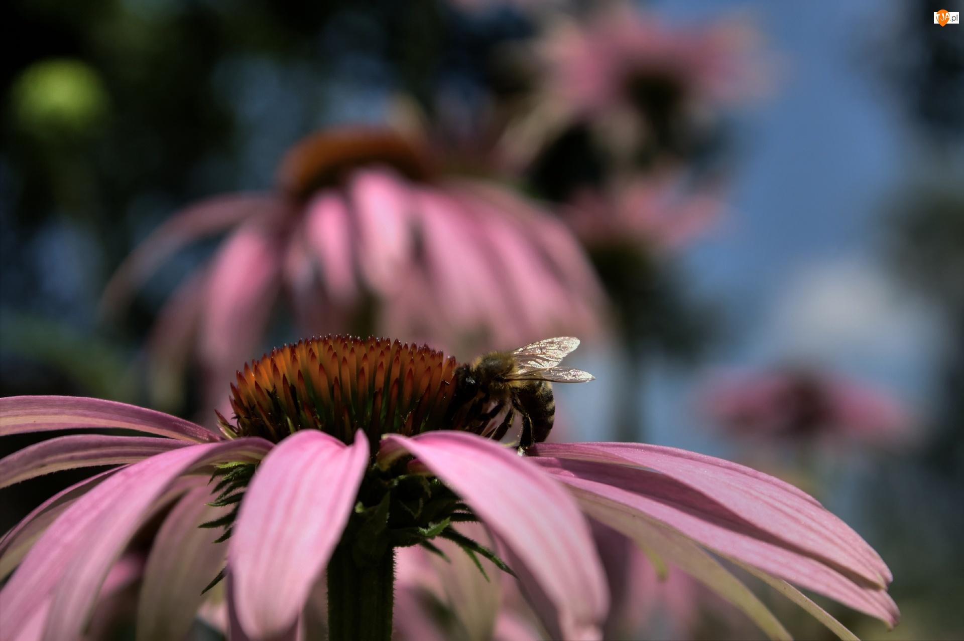 Kwiat, Pszczoła, Jeżówka, Różowy