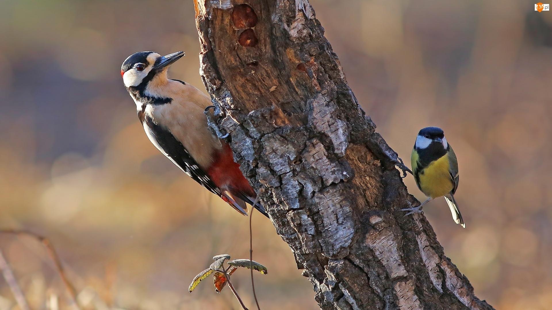 Sikorka, Ptaki, Dzięcioł