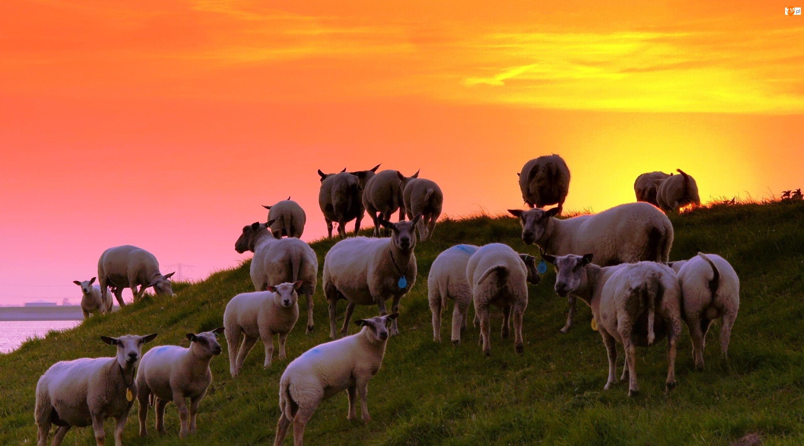 Zachód Słońca, Owce, Łąka