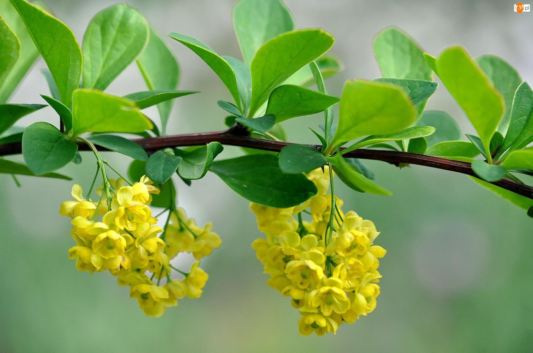 Gałązka, Kwiatki, Krzewu, Żółte