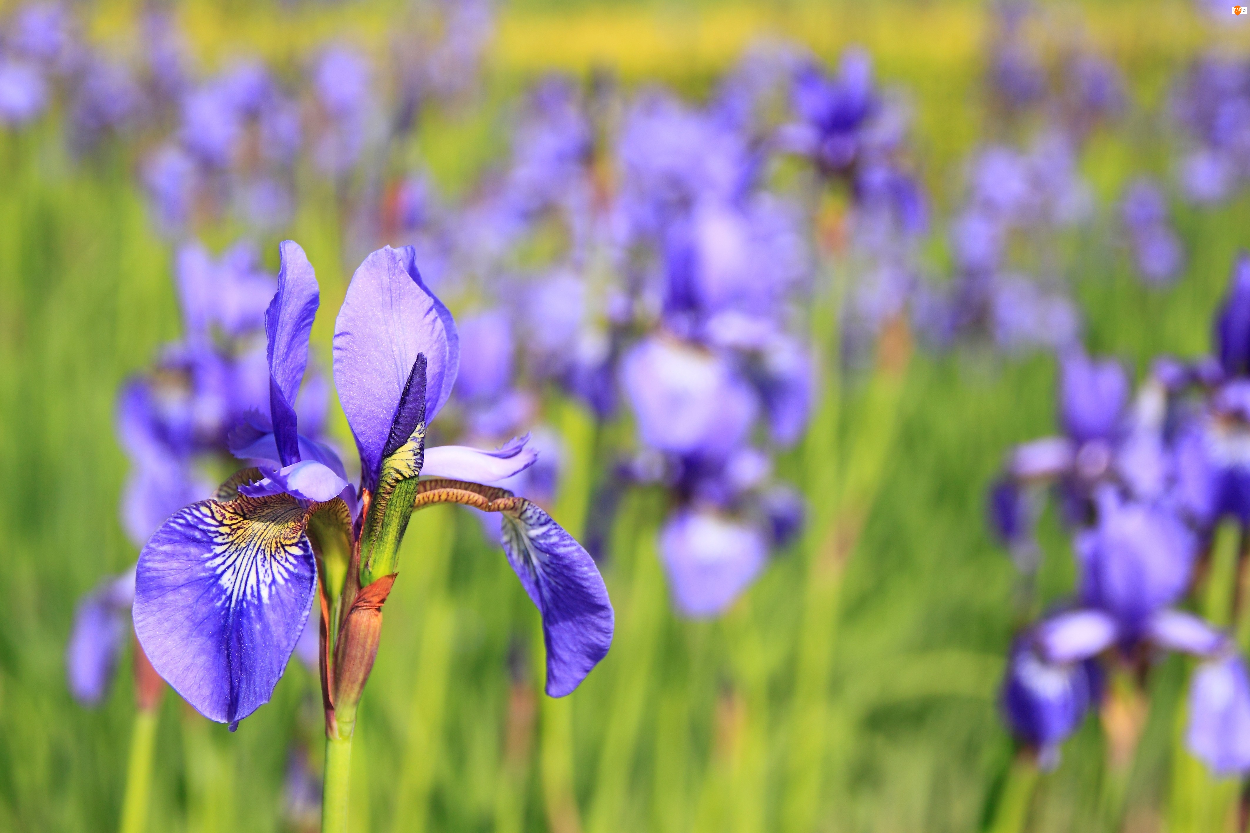 Fioletowy, Kosaciec, Kwiat, Irys