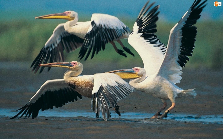 Lecące, Pelikany