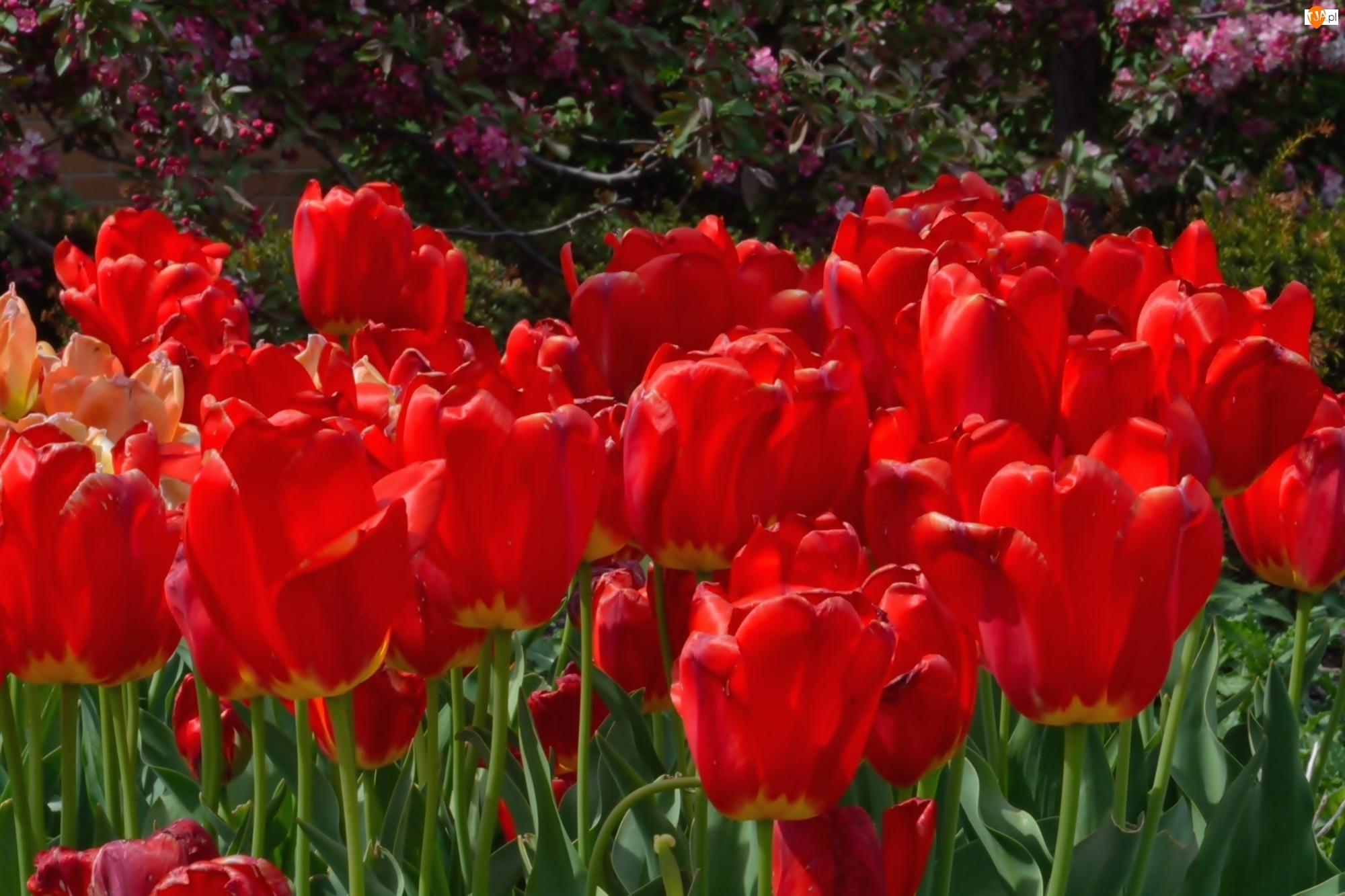 Czerwone, Tulipany