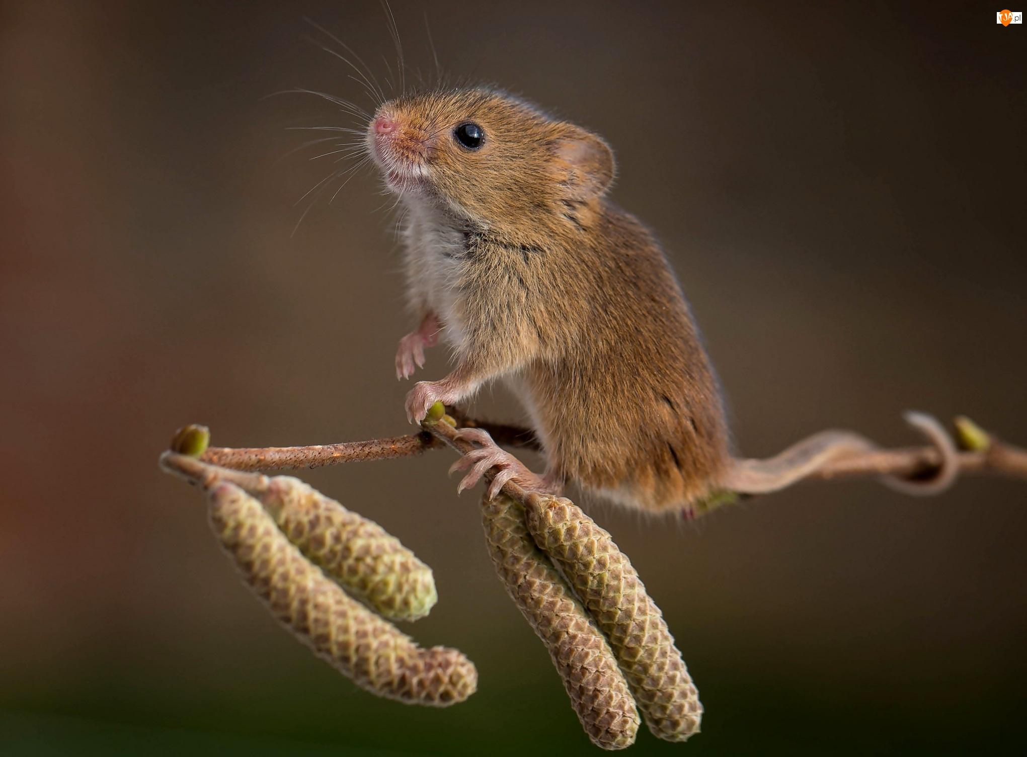 Myszka, Gałązka olchy