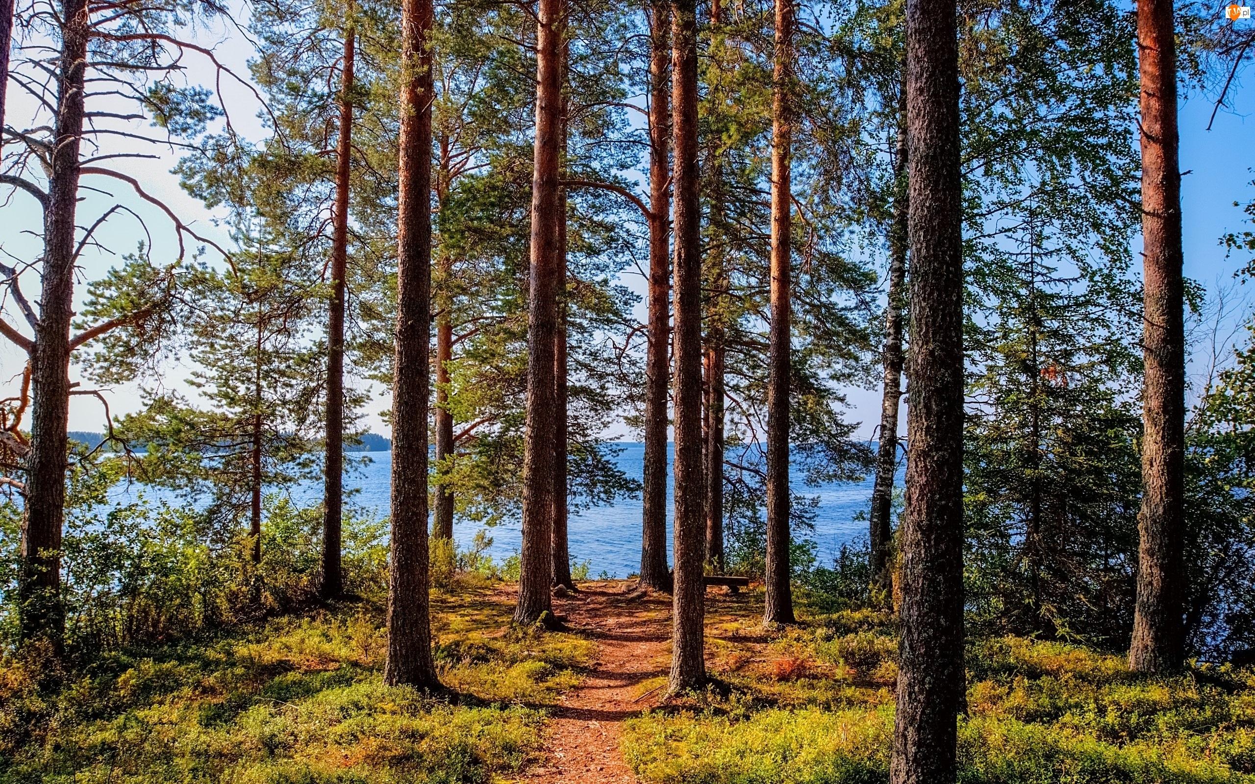 Las, Jezioro, Sosny, Ścieżka