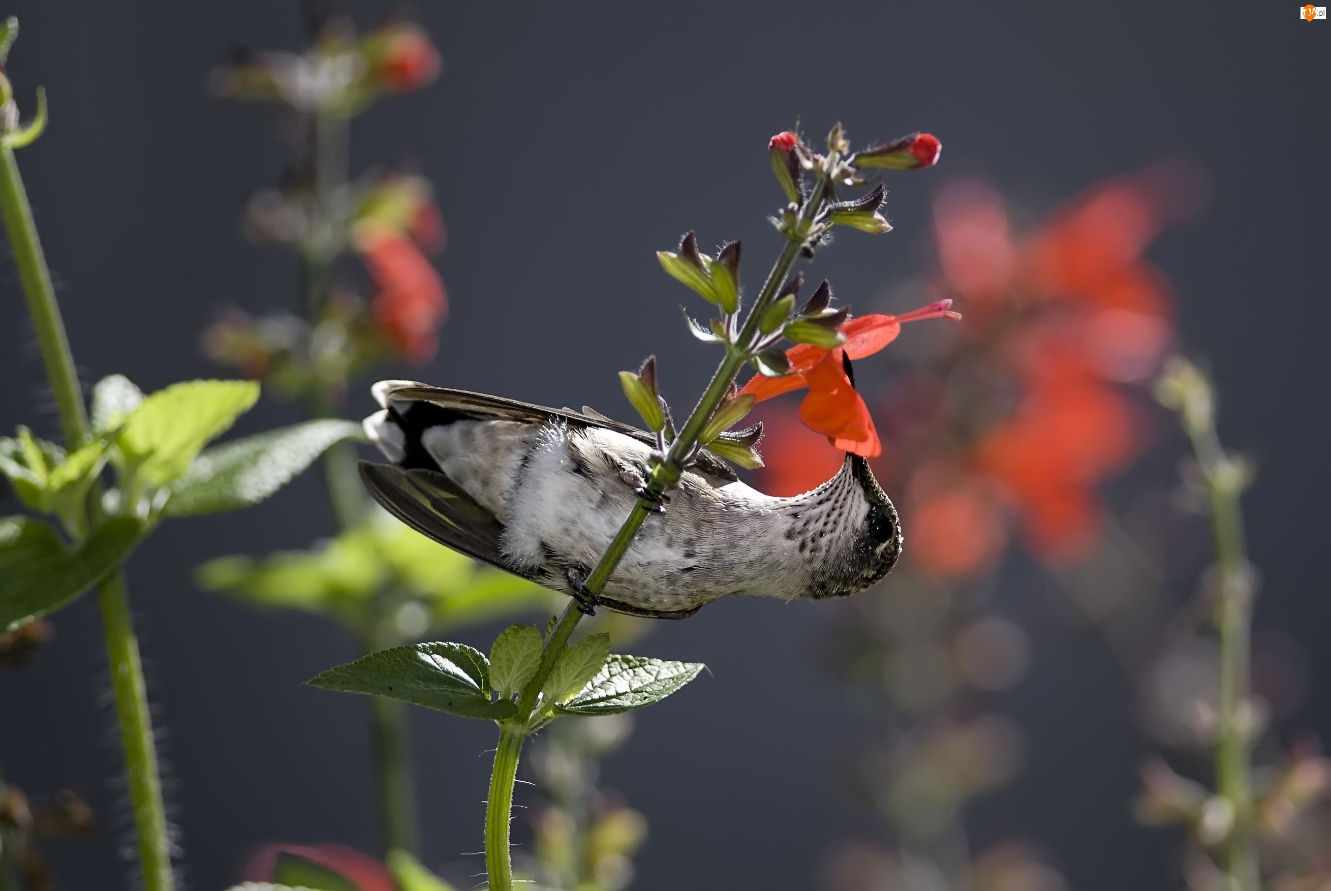 Koliber, Kwiaty, Ptak, Gałązka