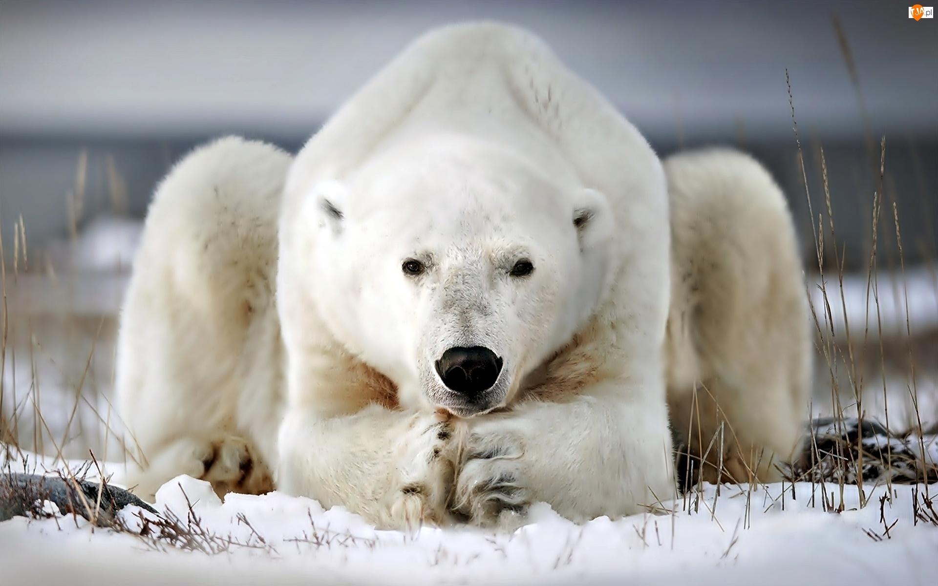 Niedźwiedź, Polarny