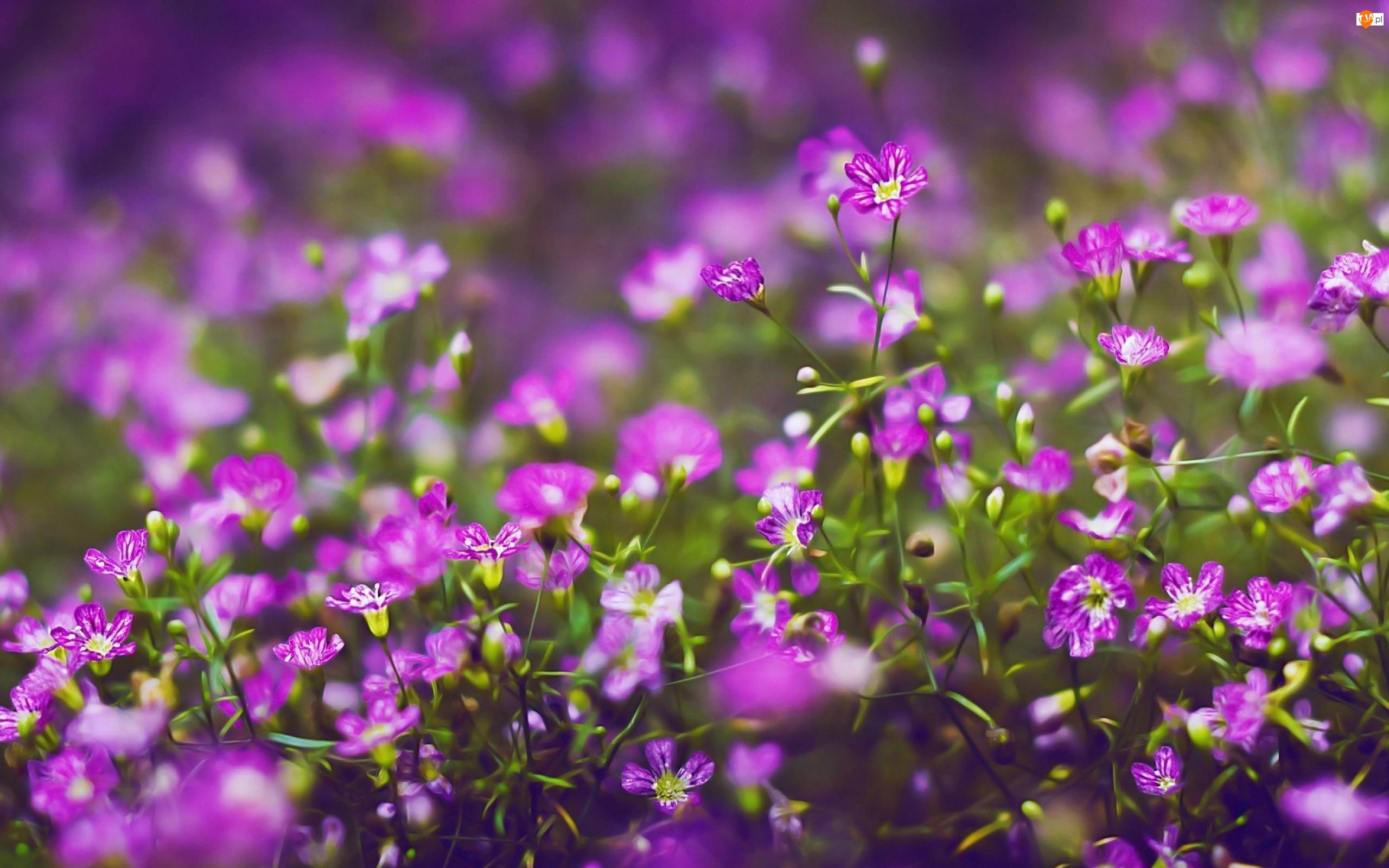 Rozmycie, Purpurowe, Kwiatki
