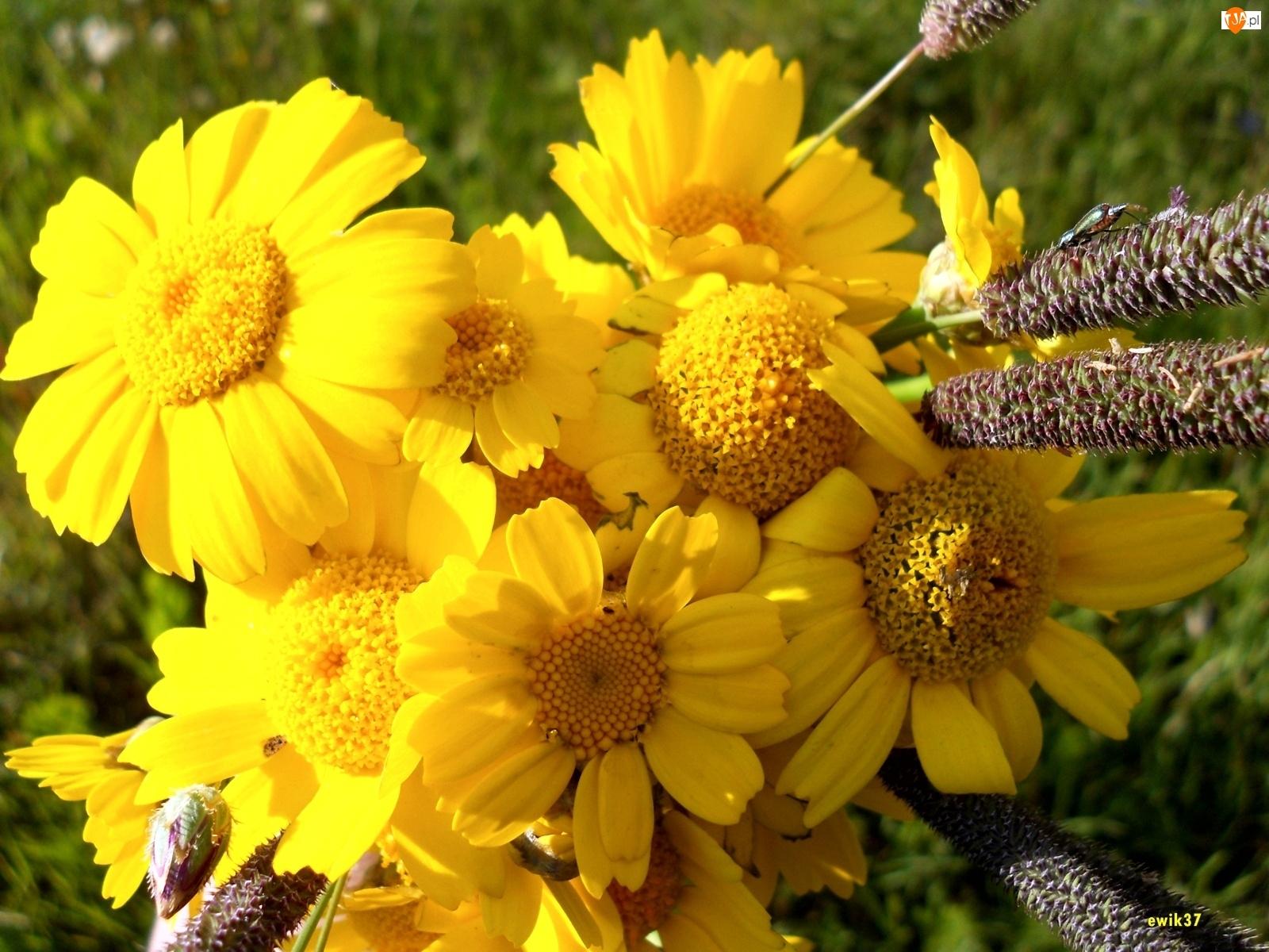Chryzantemy, Żółte, Kwiaty