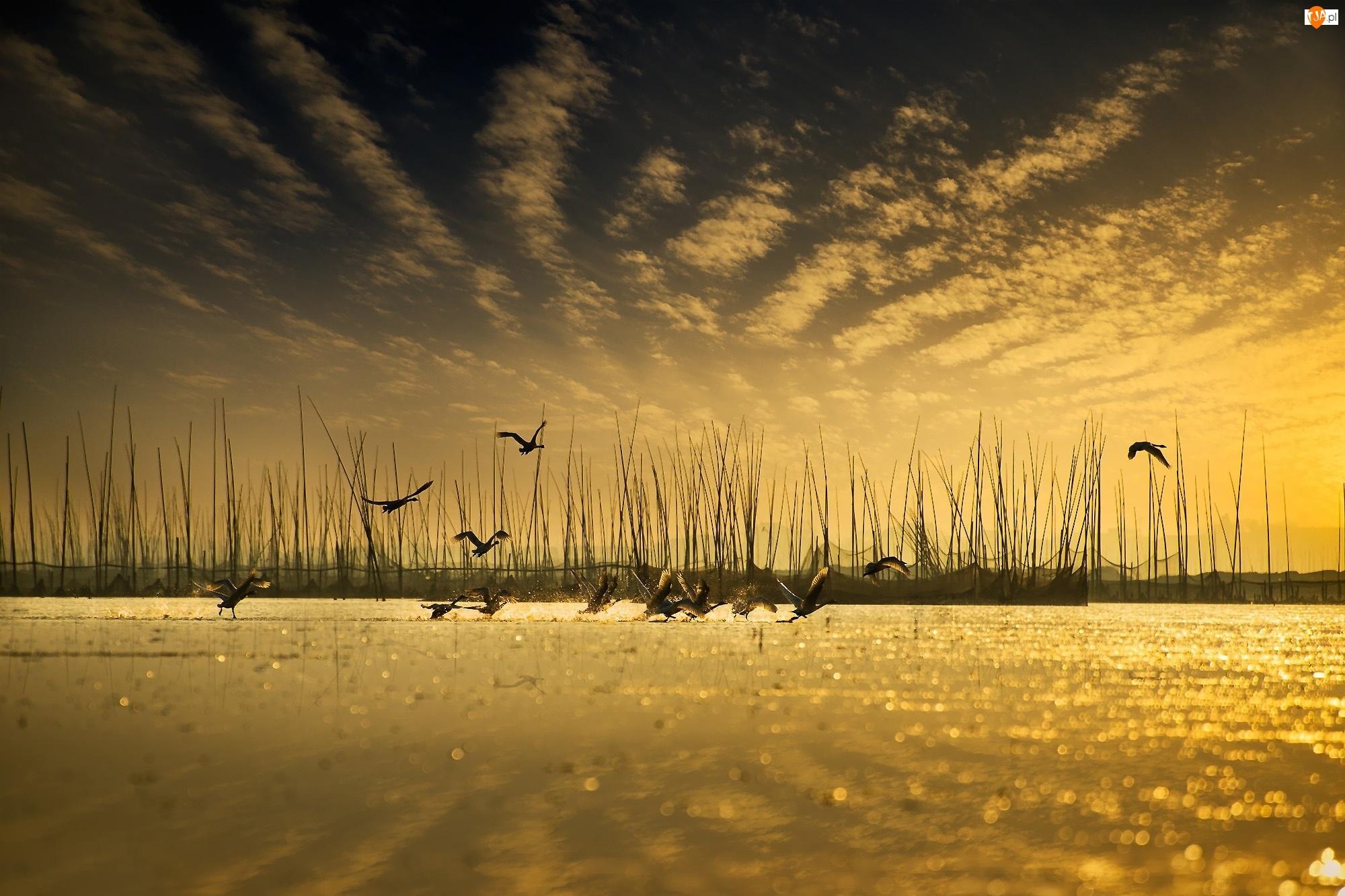 Latające, Dzikie, Jezioro, Gęsi, Trzcina, Ptaki