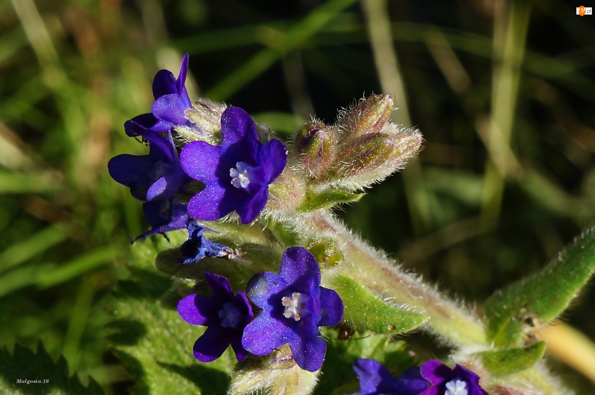 Farbownik, Kwiaty, Fioletowe