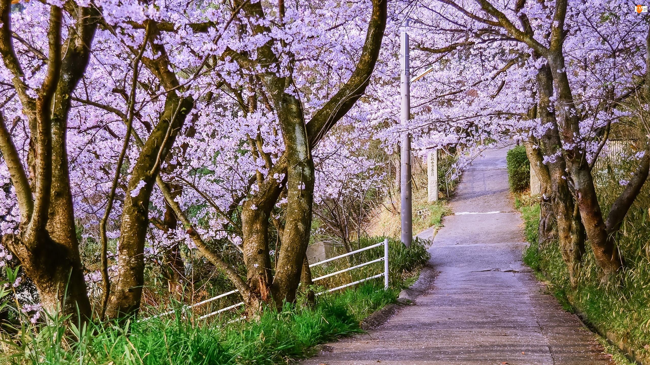 Kwitnące, Wiosna, Drzewa, Droga