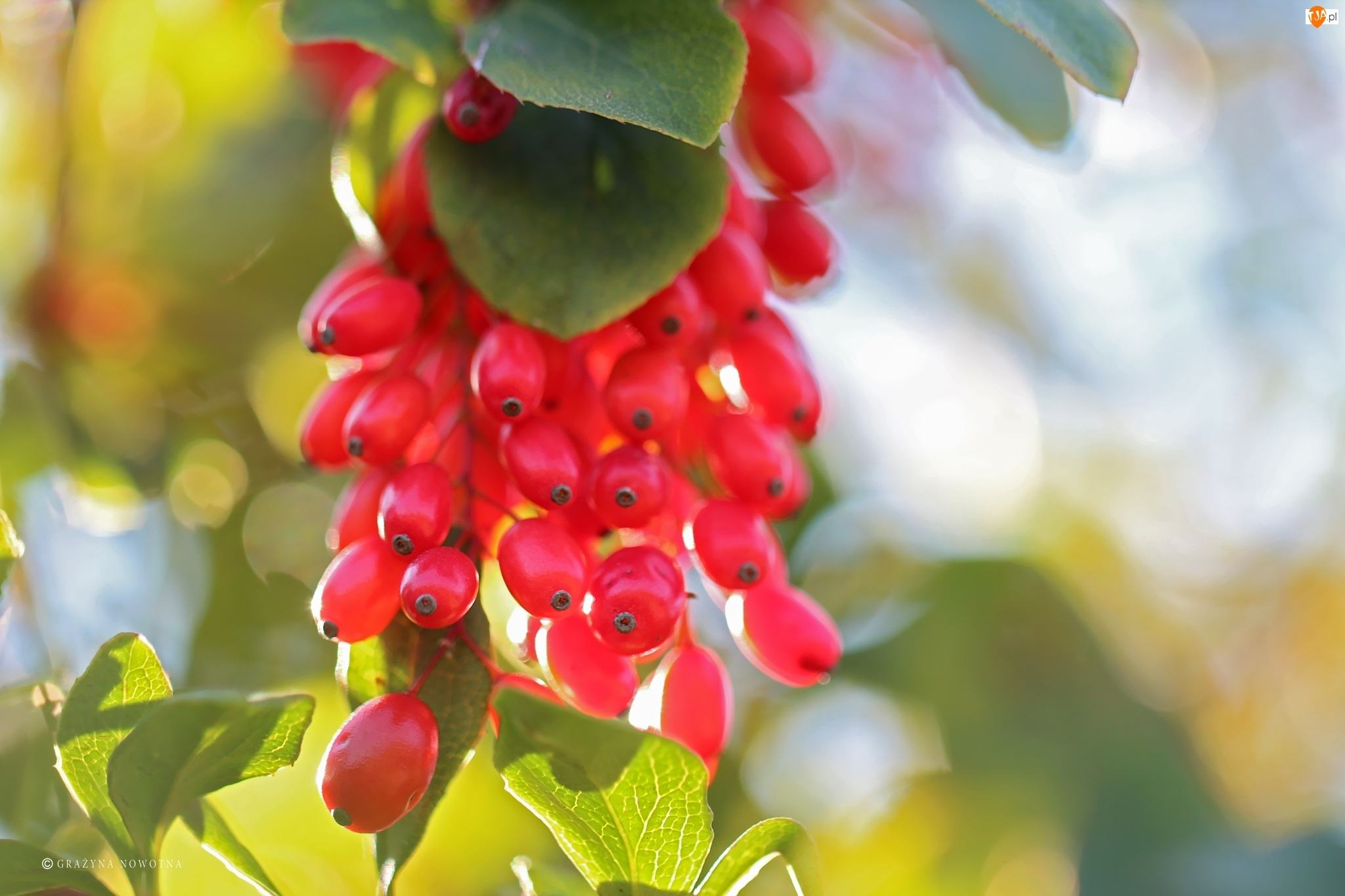 Owoce, Krzew, Czerwone