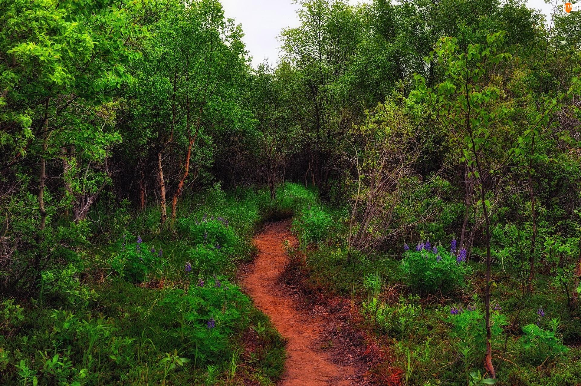 Kwiaty, Las, Ścieżka, Dróżka, Leśne