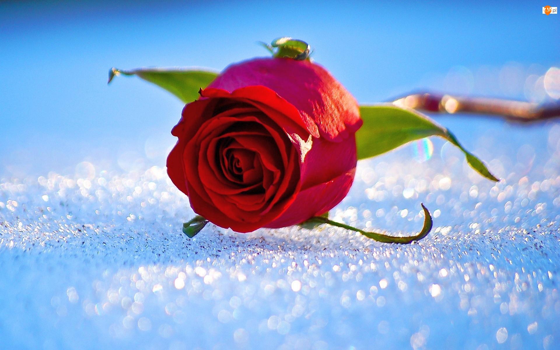 Róża, Śnieg