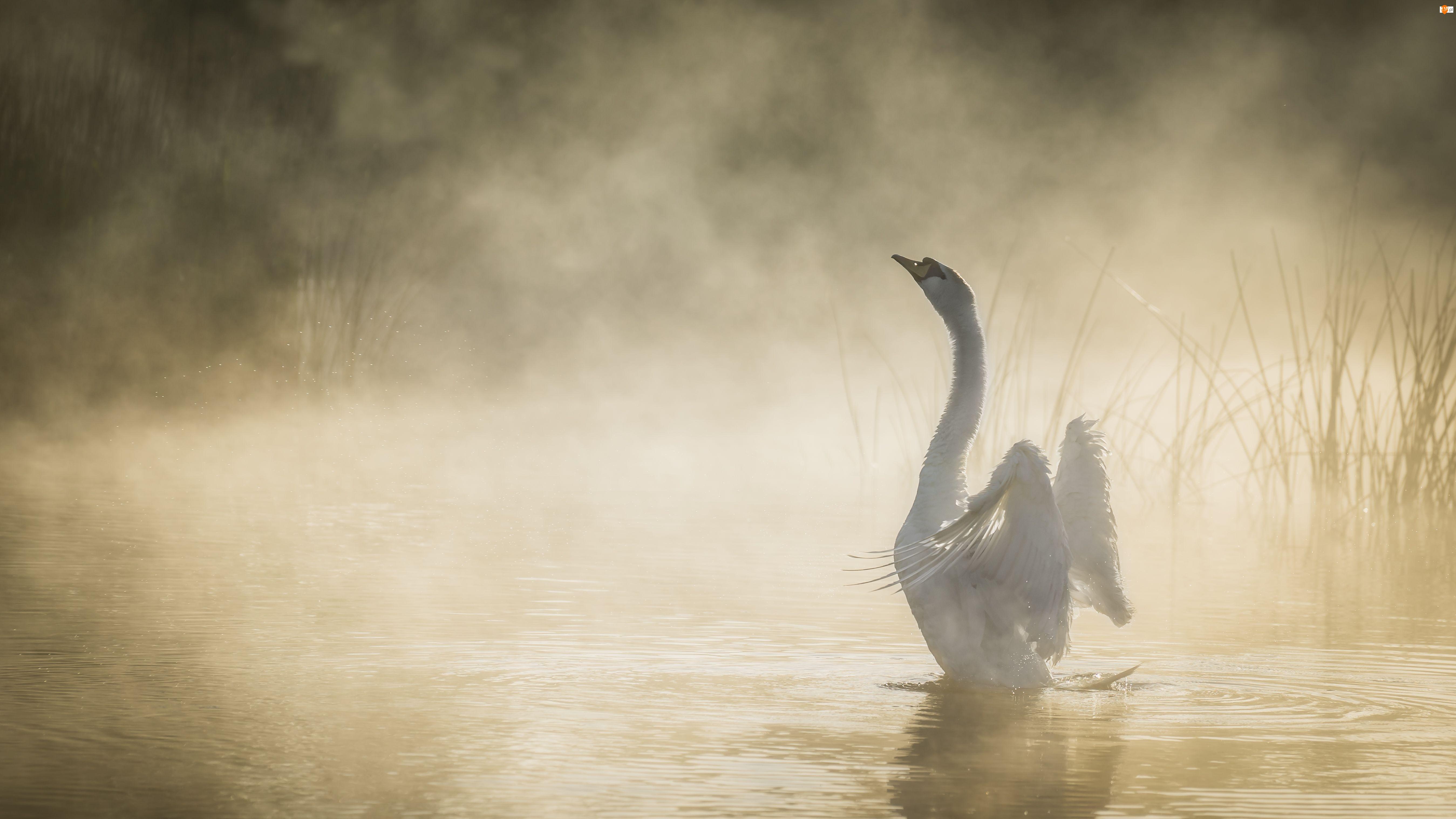 Łabędź, Mgła