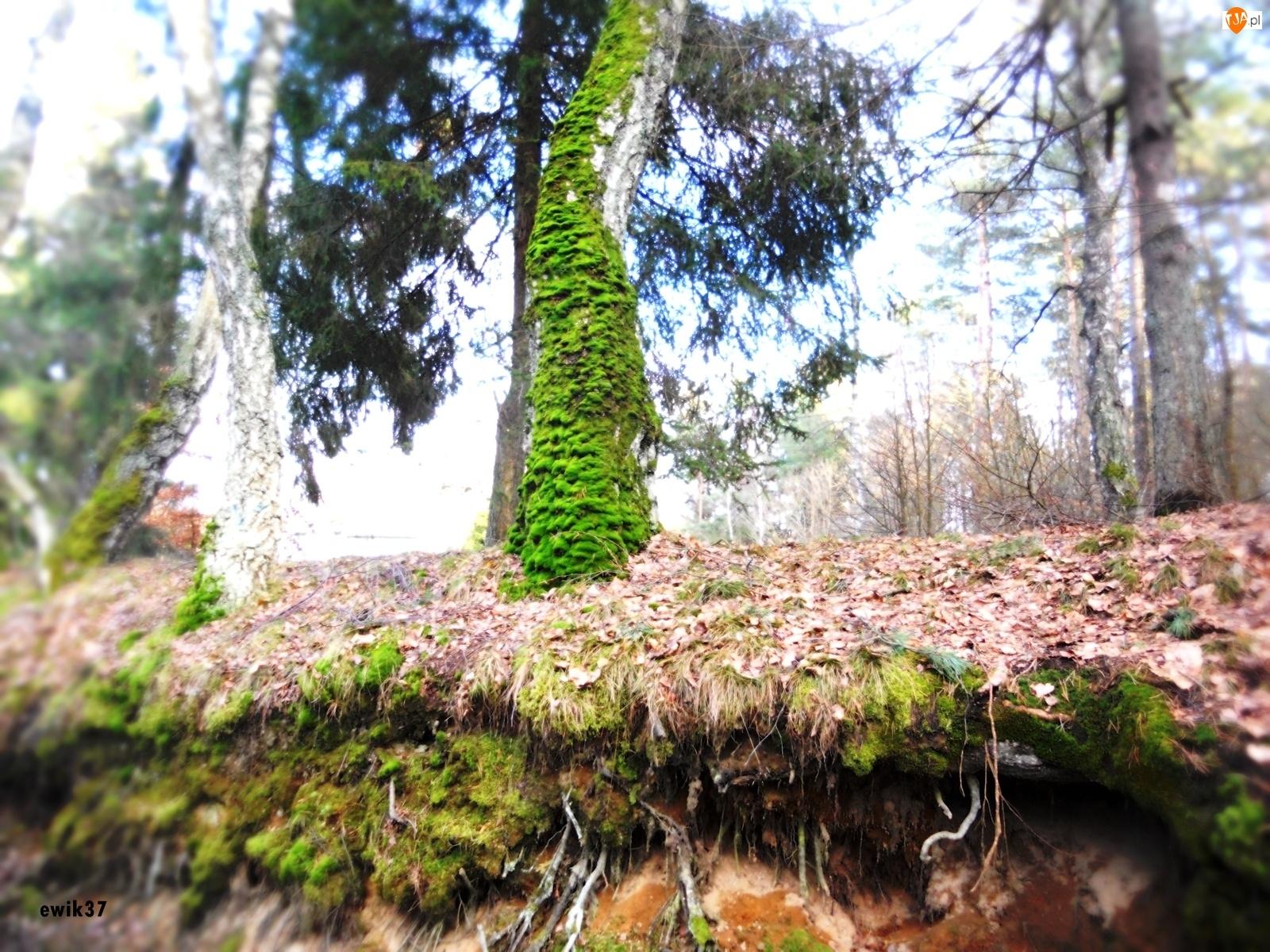 Korzenie, Las, Drzewo, Omszałe, Skarpa